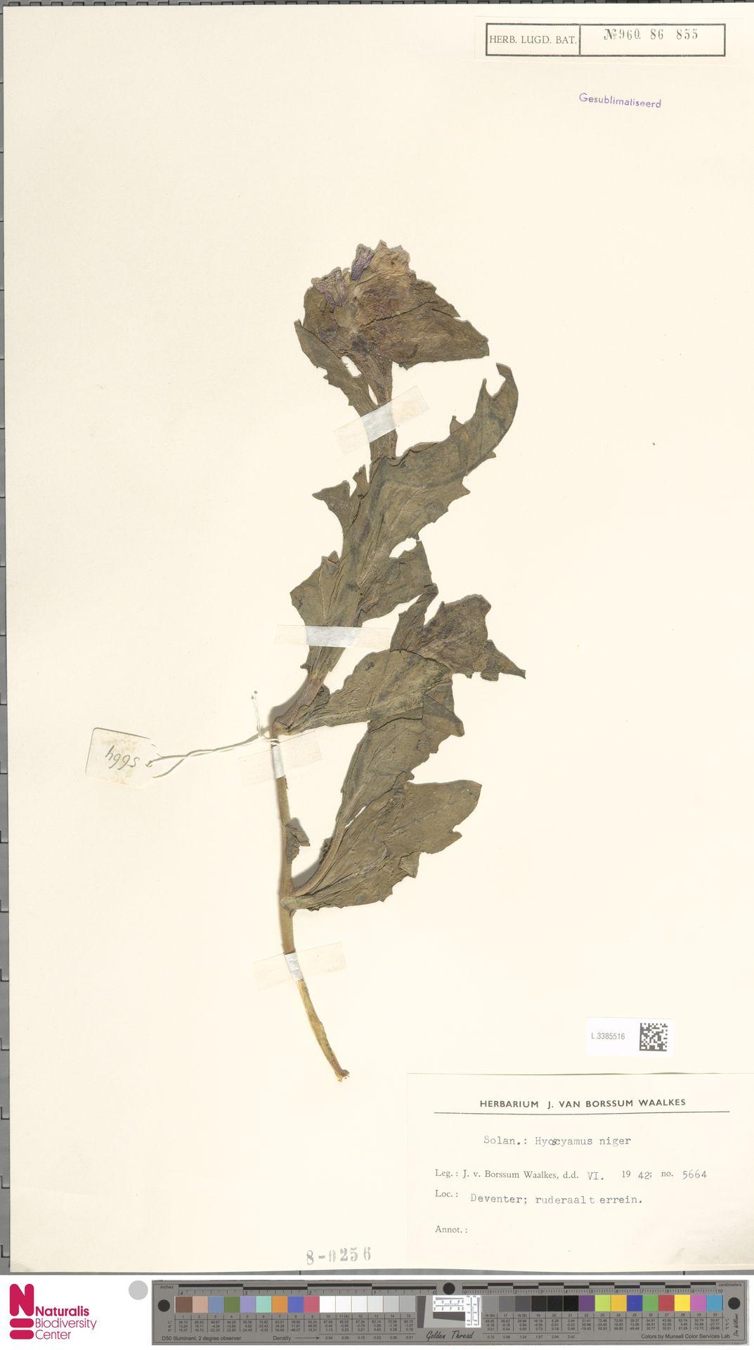L.3385516 | Hyoscyamus niger L.