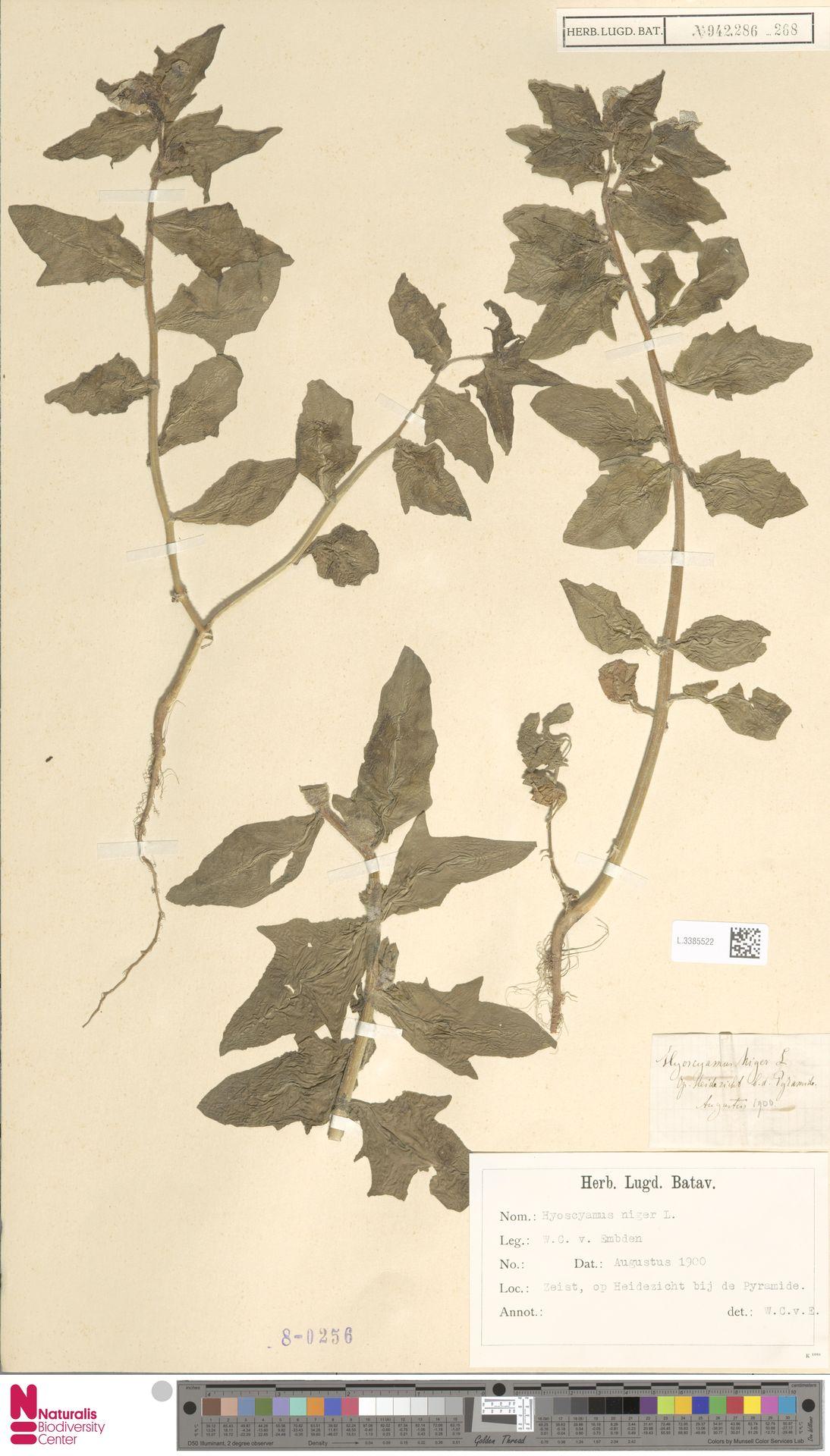 L.3385522 | Hyoscyamus niger L.