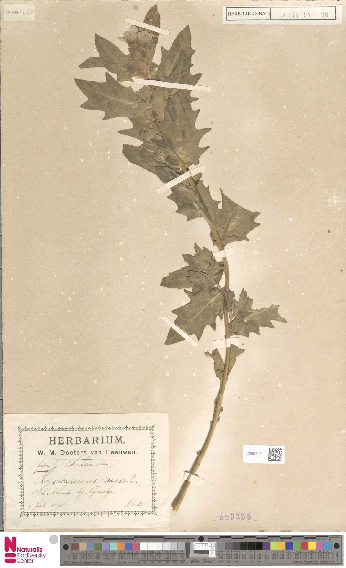 L.3385523   Hyoscyamus niger L.