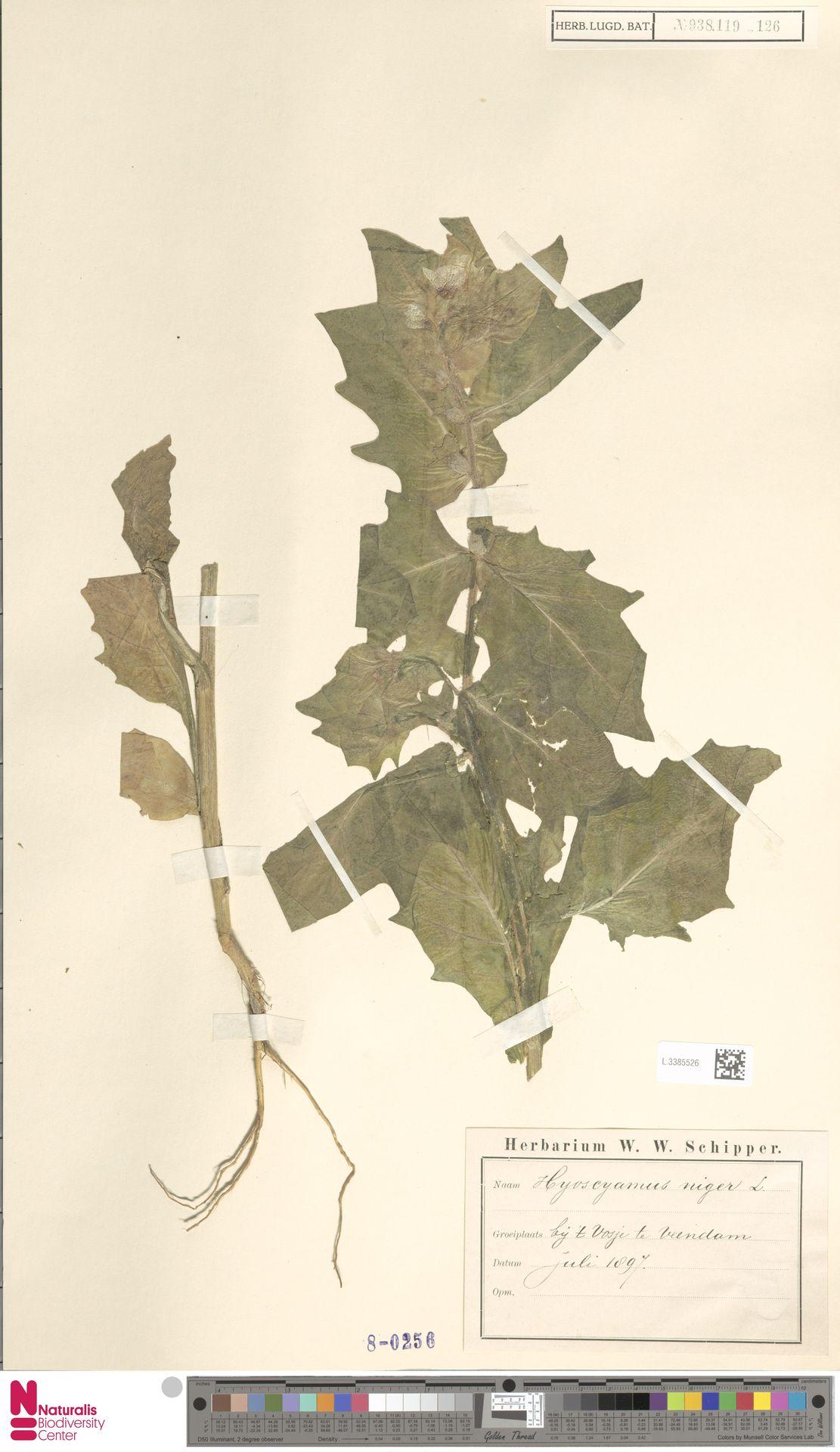 L.3385526   Hyoscyamus niger L.