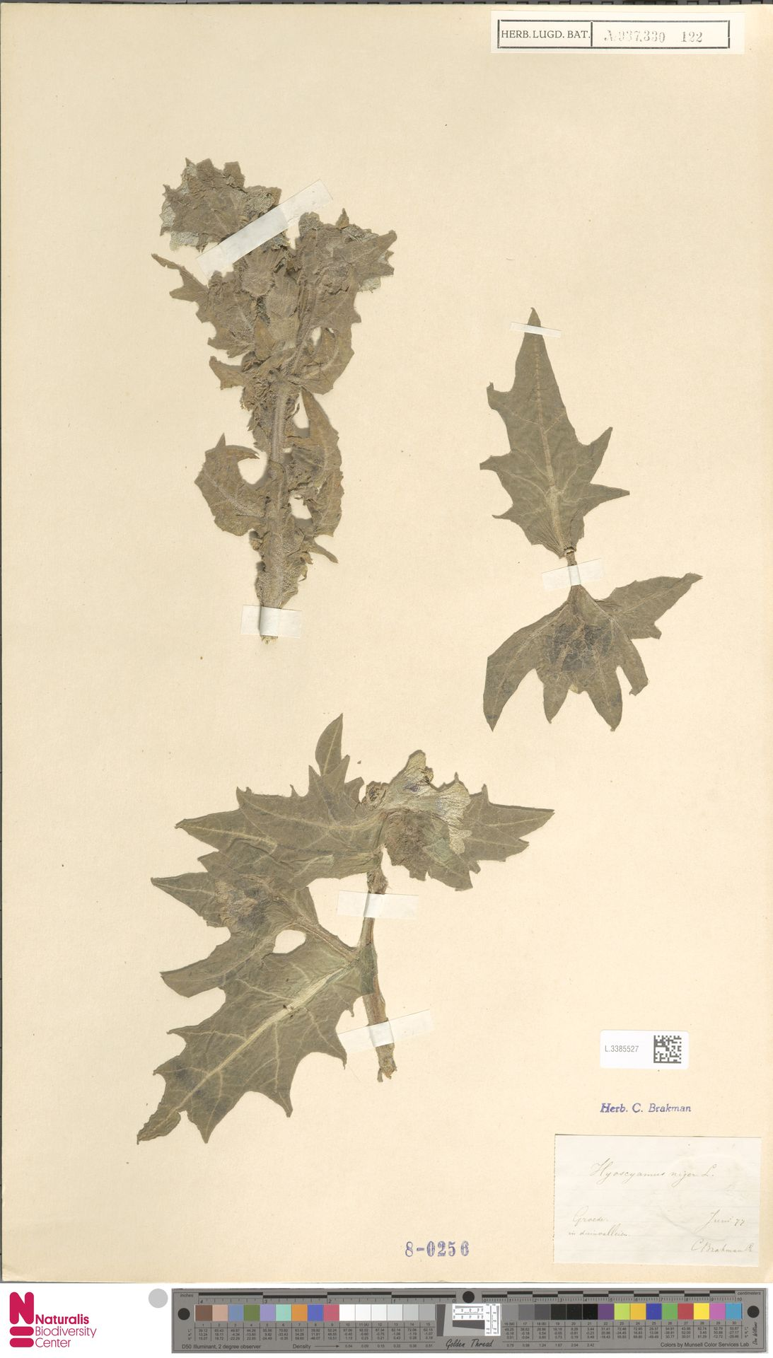 L.3385527 | Hyoscyamus niger L.