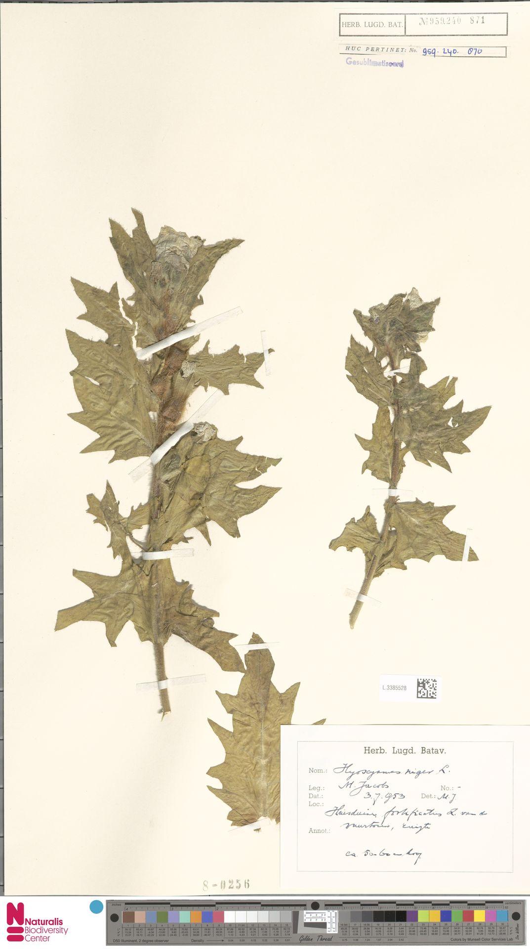 L.3385528   Hyoscyamus niger L.