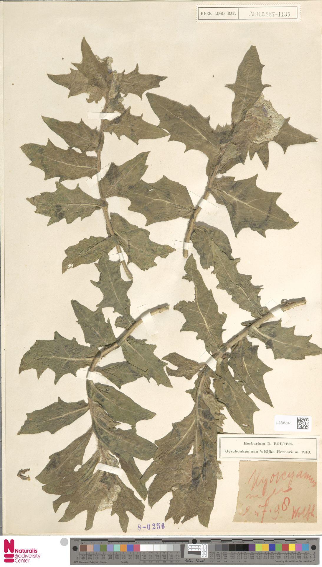 L.3385537 | Hyoscyamus niger L.
