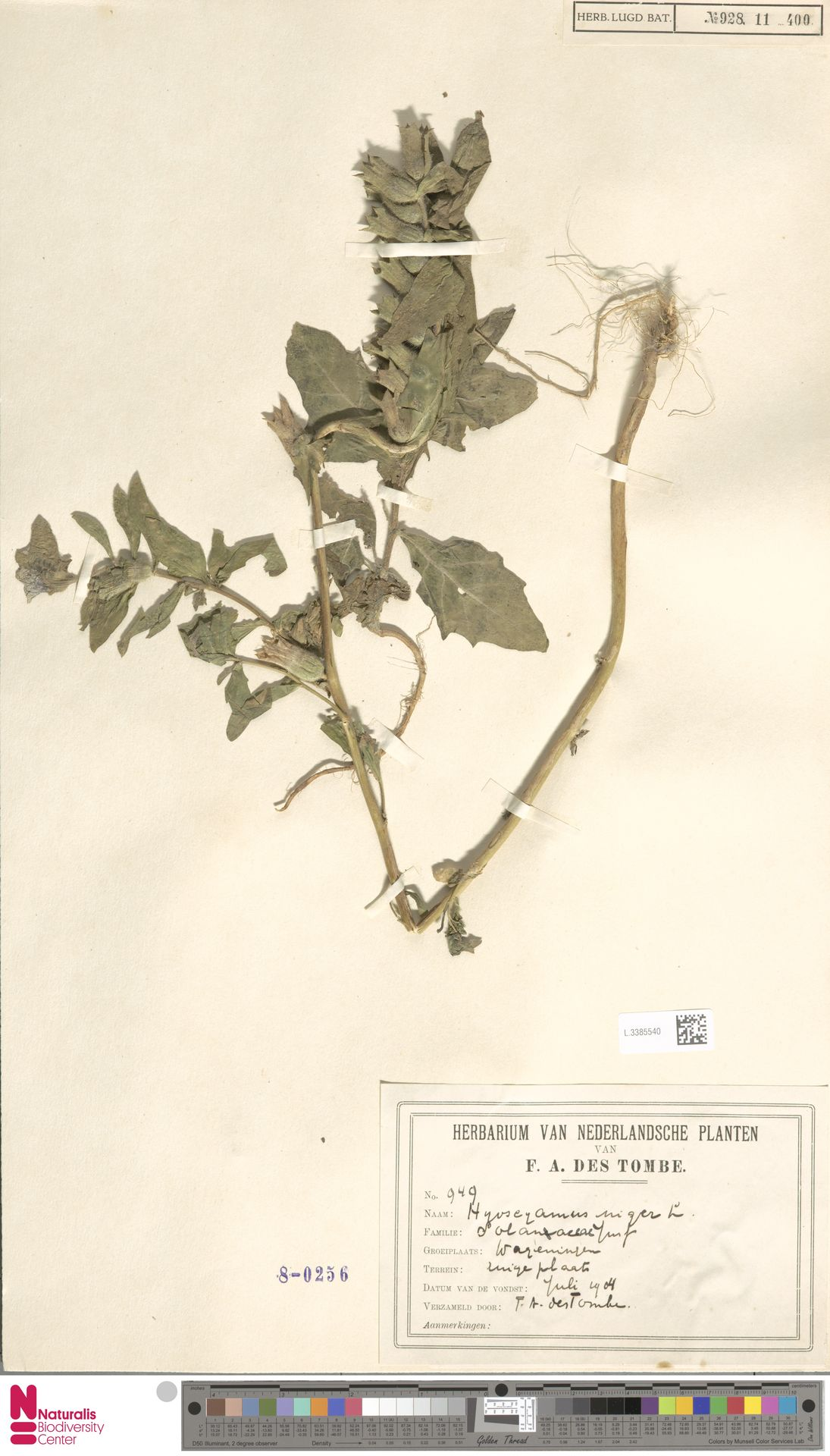 L.3385540 | Hyoscyamus niger L.