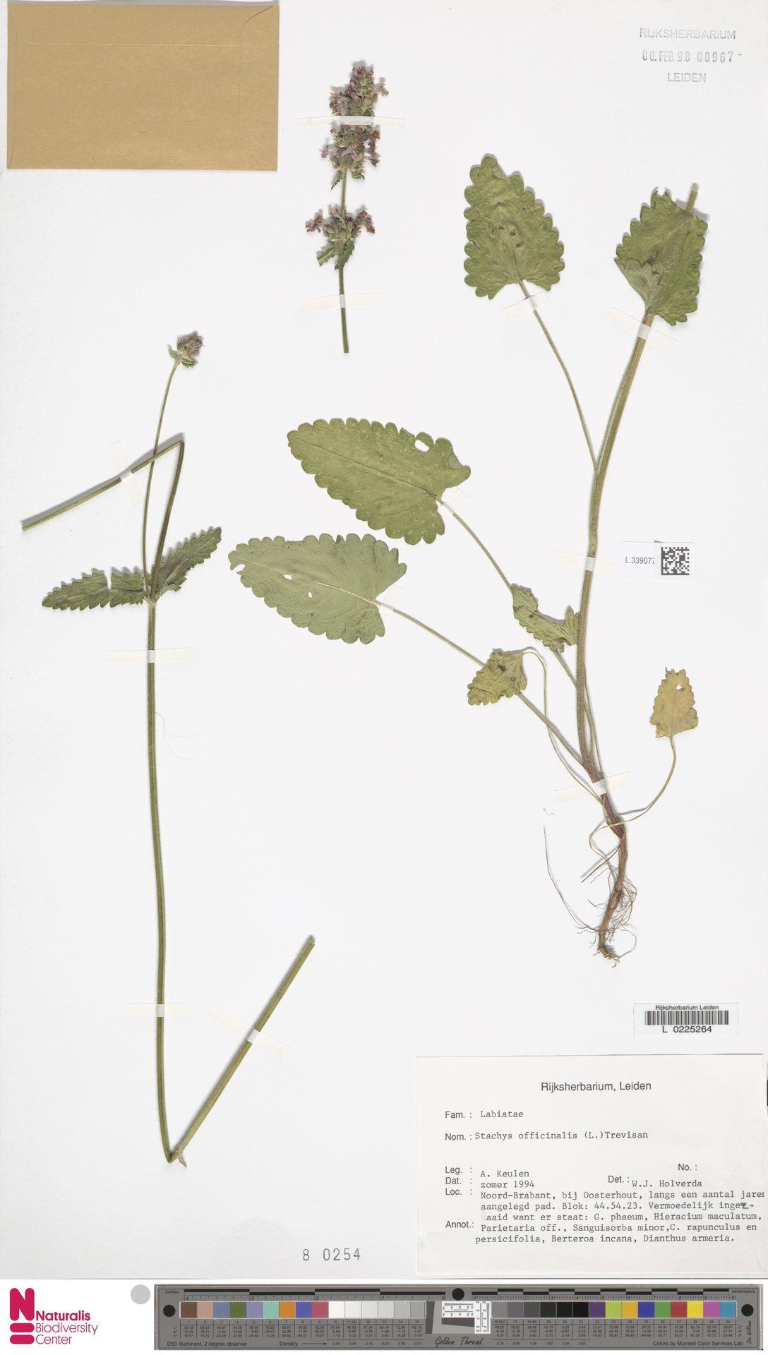 L.3390773 | Stachys officinalis (L.) Trevis.
