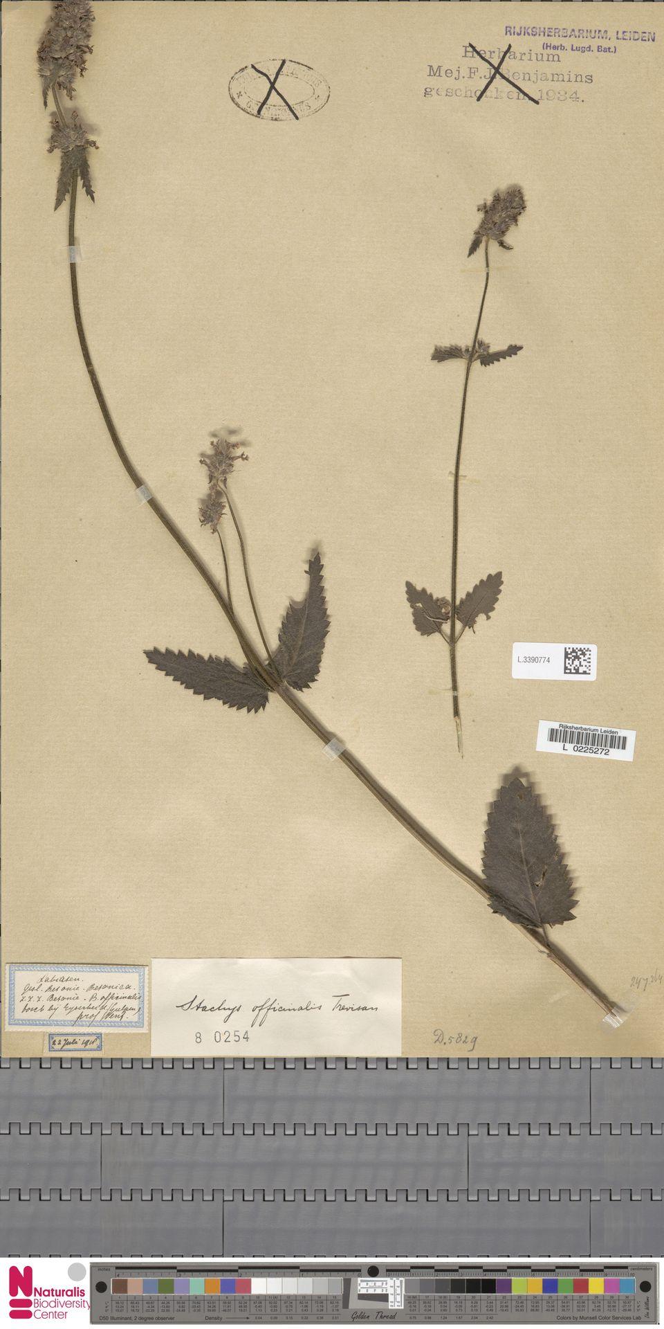 L.3390774 | Stachys officinalis (L.) Trevis.