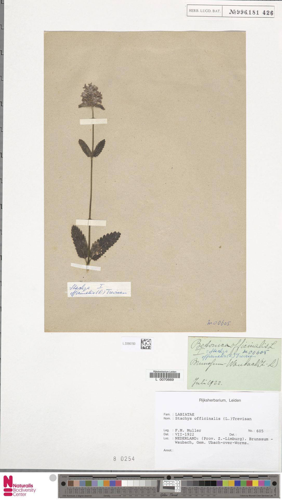L.3390783   Stachys officinalis (L.) Trevis.