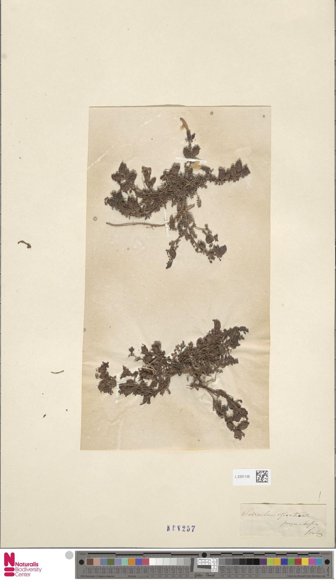 L.3391148 | Pedicularis sylvatica L.