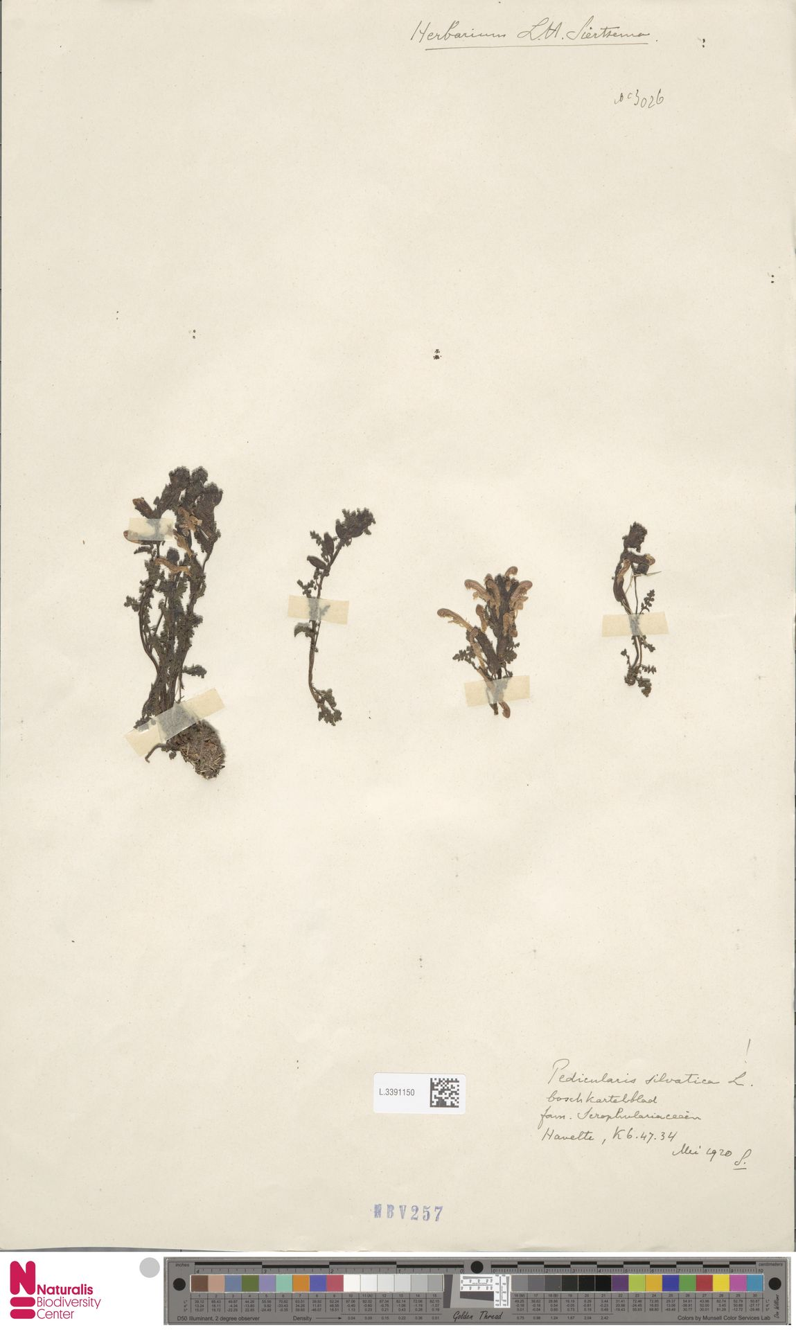 L.3391150 | Pedicularis sylvatica L.