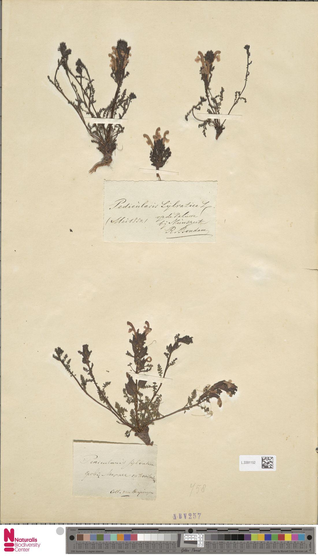 L.3391152 | Pedicularis sylvatica L.