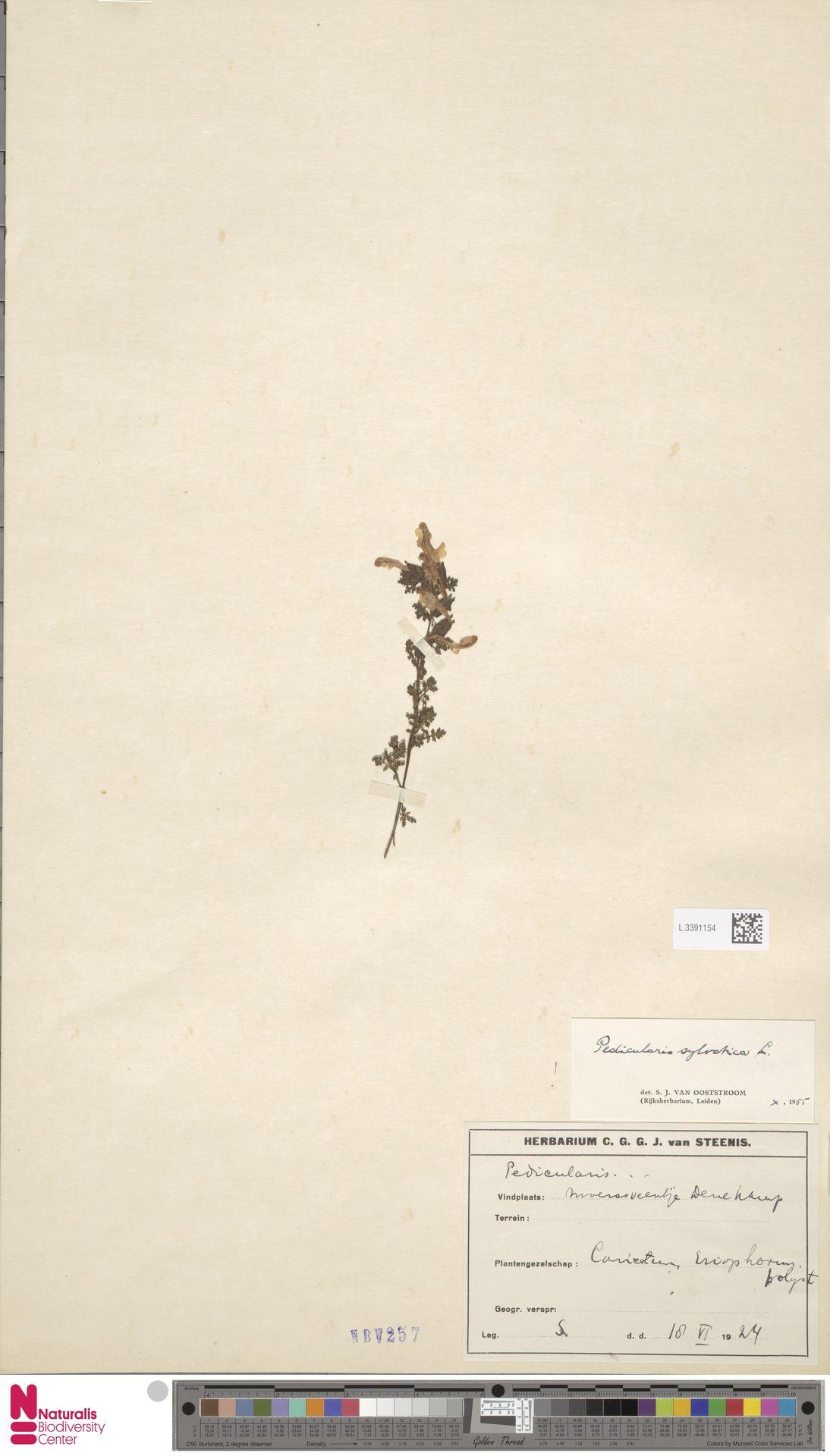 L.3391154 | Pedicularis sylvatica L.