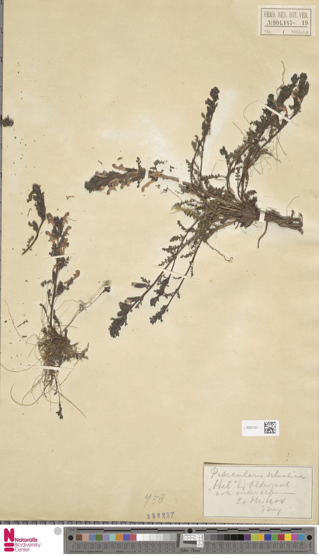 L.3391157 | Pedicularis sylvatica L.