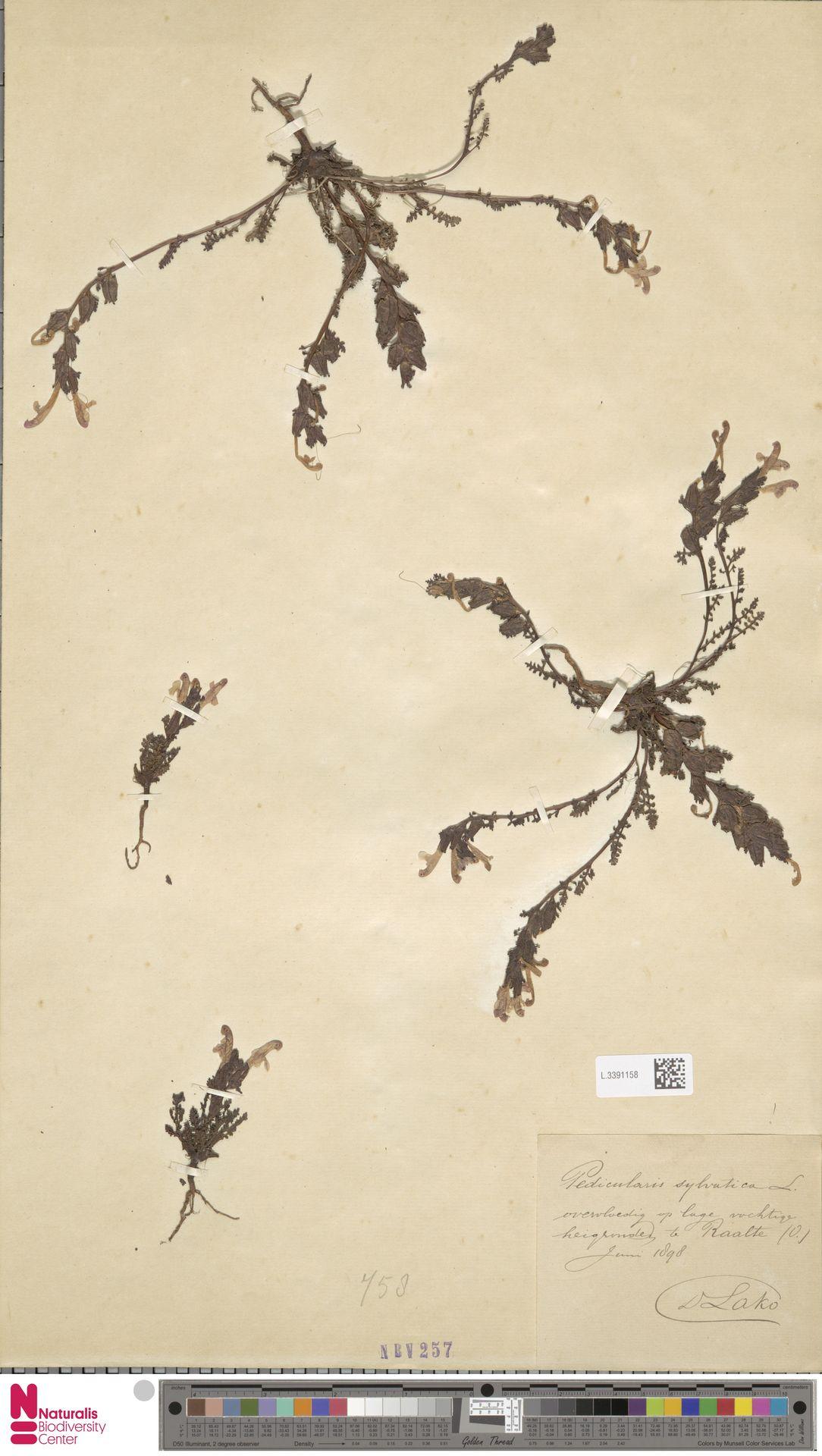 L.3391158   Pedicularis sylvatica L.