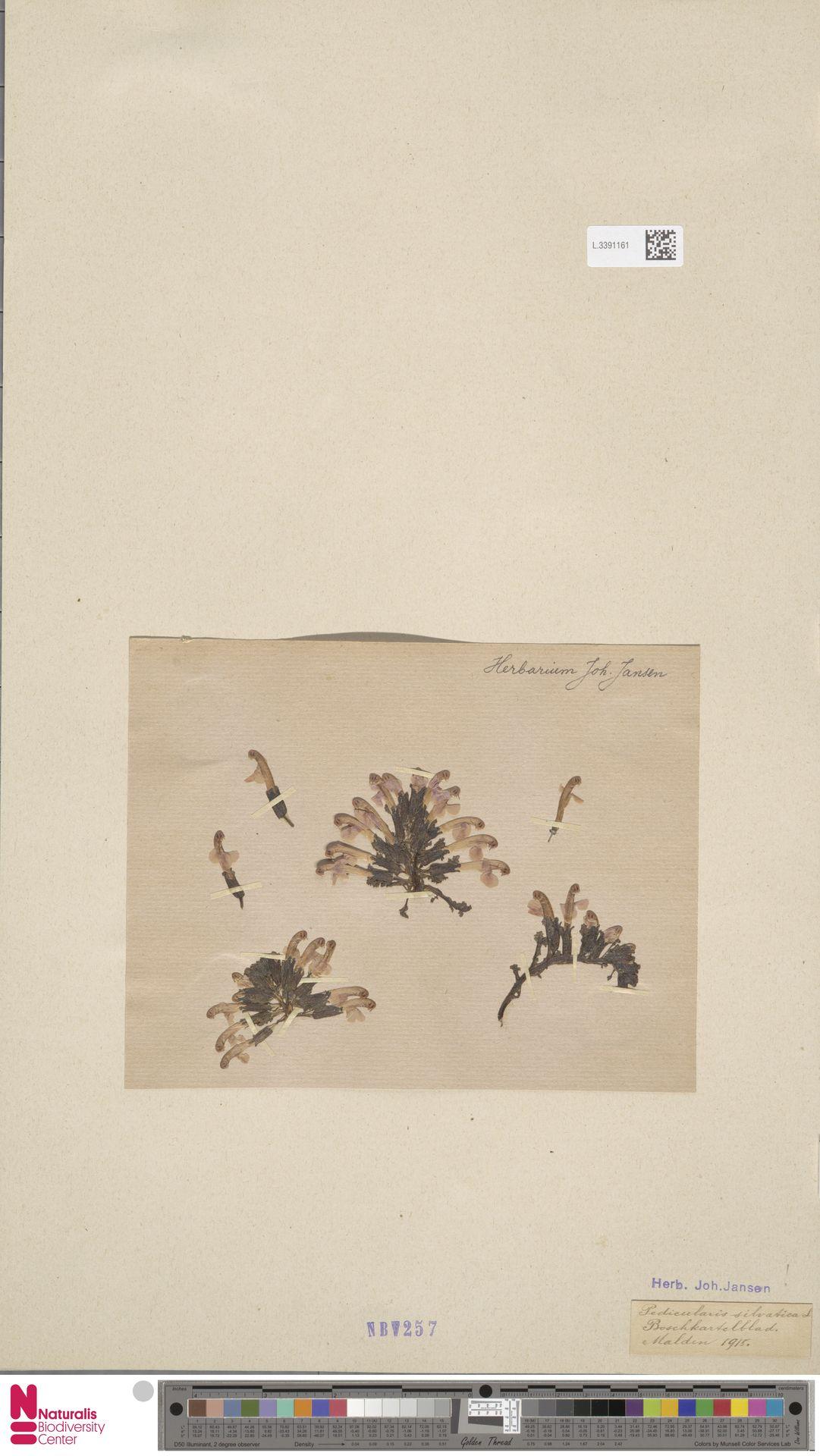 L.3391161 | Pedicularis sylvatica L.