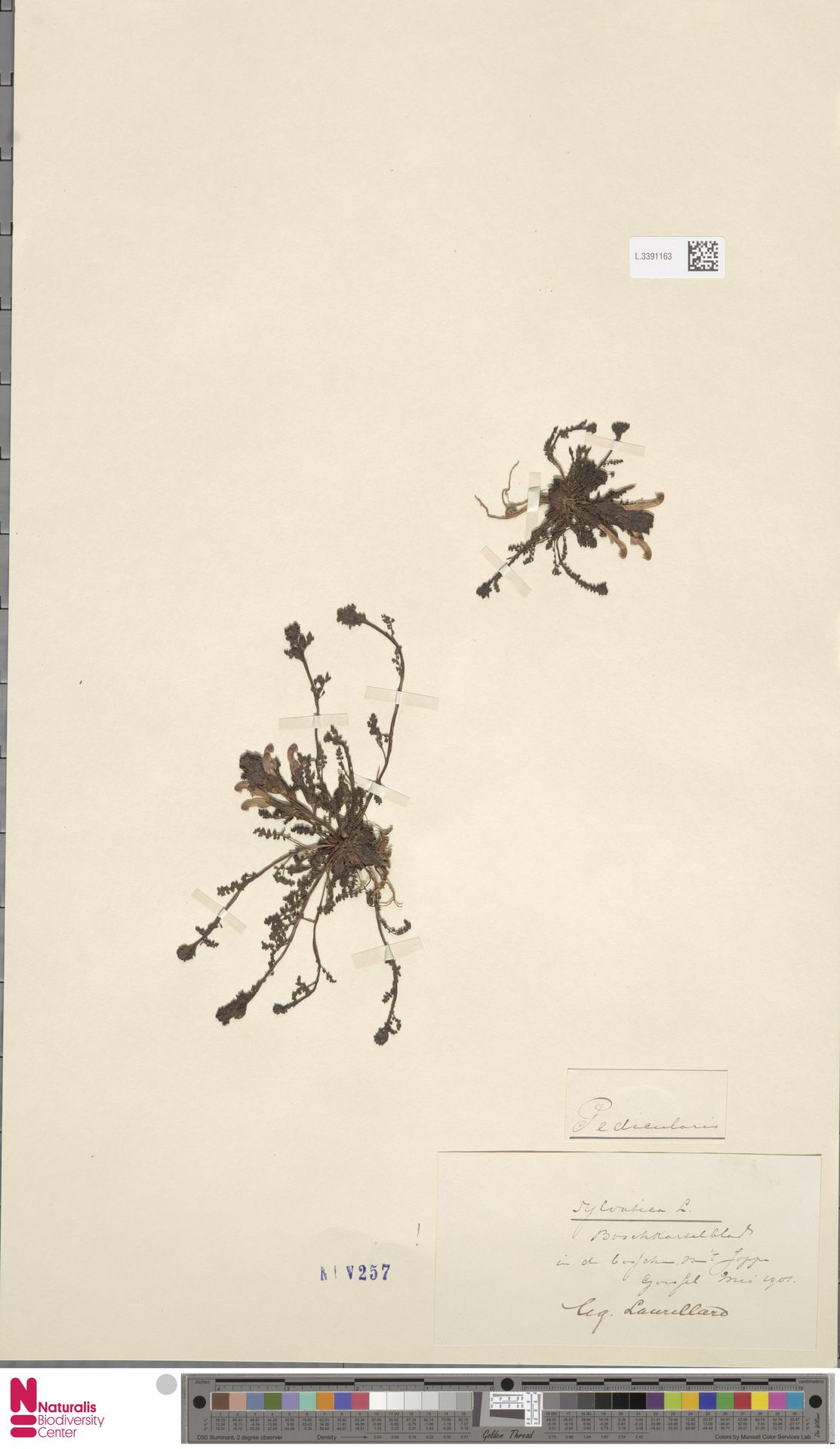 L.3391163 | Pedicularis sylvatica L.