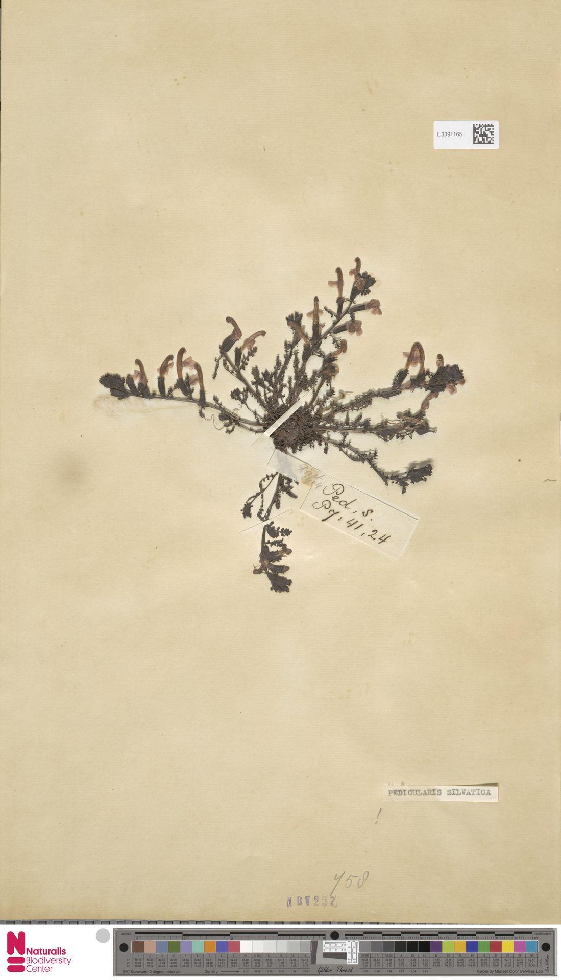 L.3391165 | Pedicularis sylvatica L.