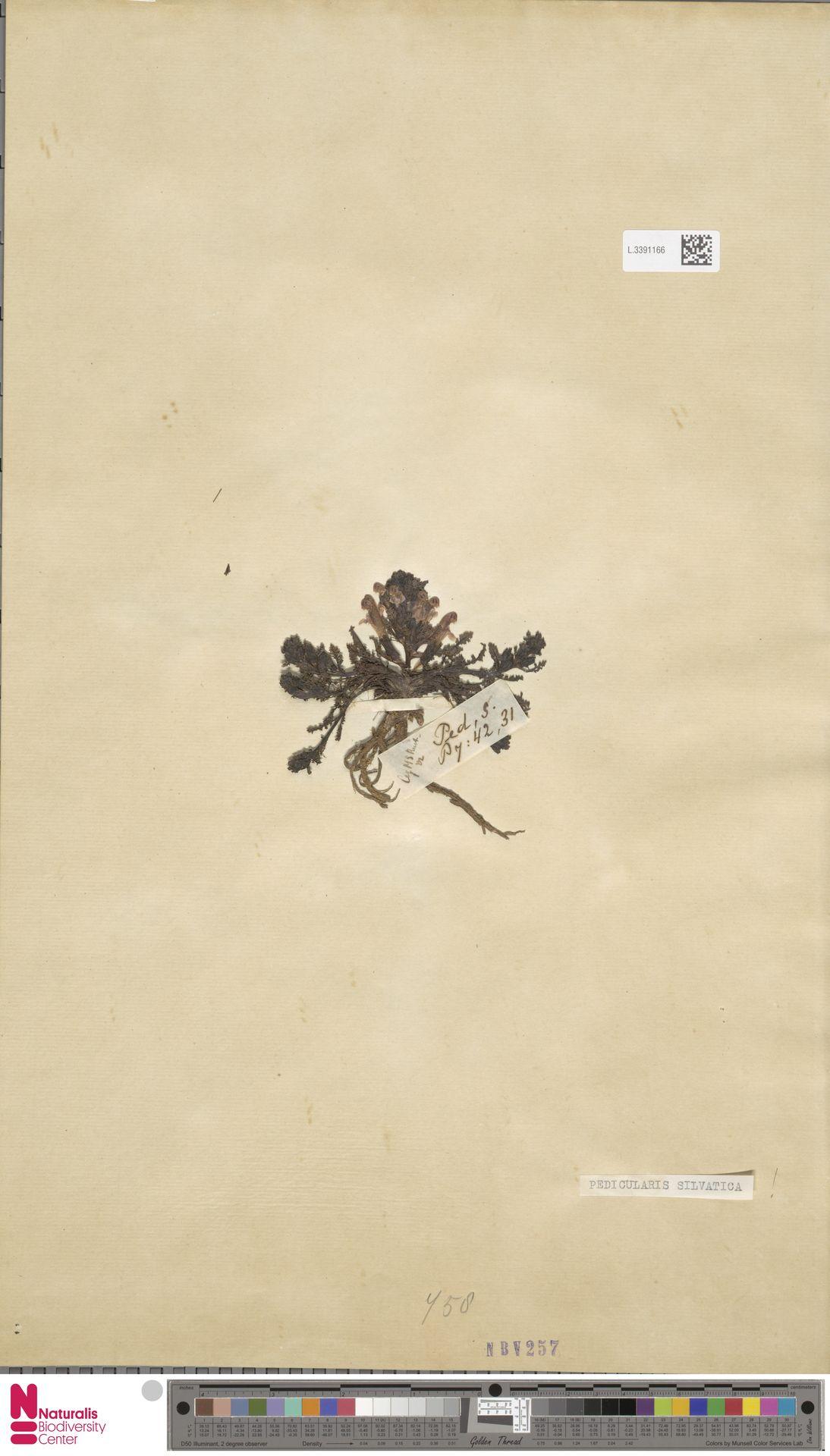 L.3391166 | Pedicularis sylvatica L.