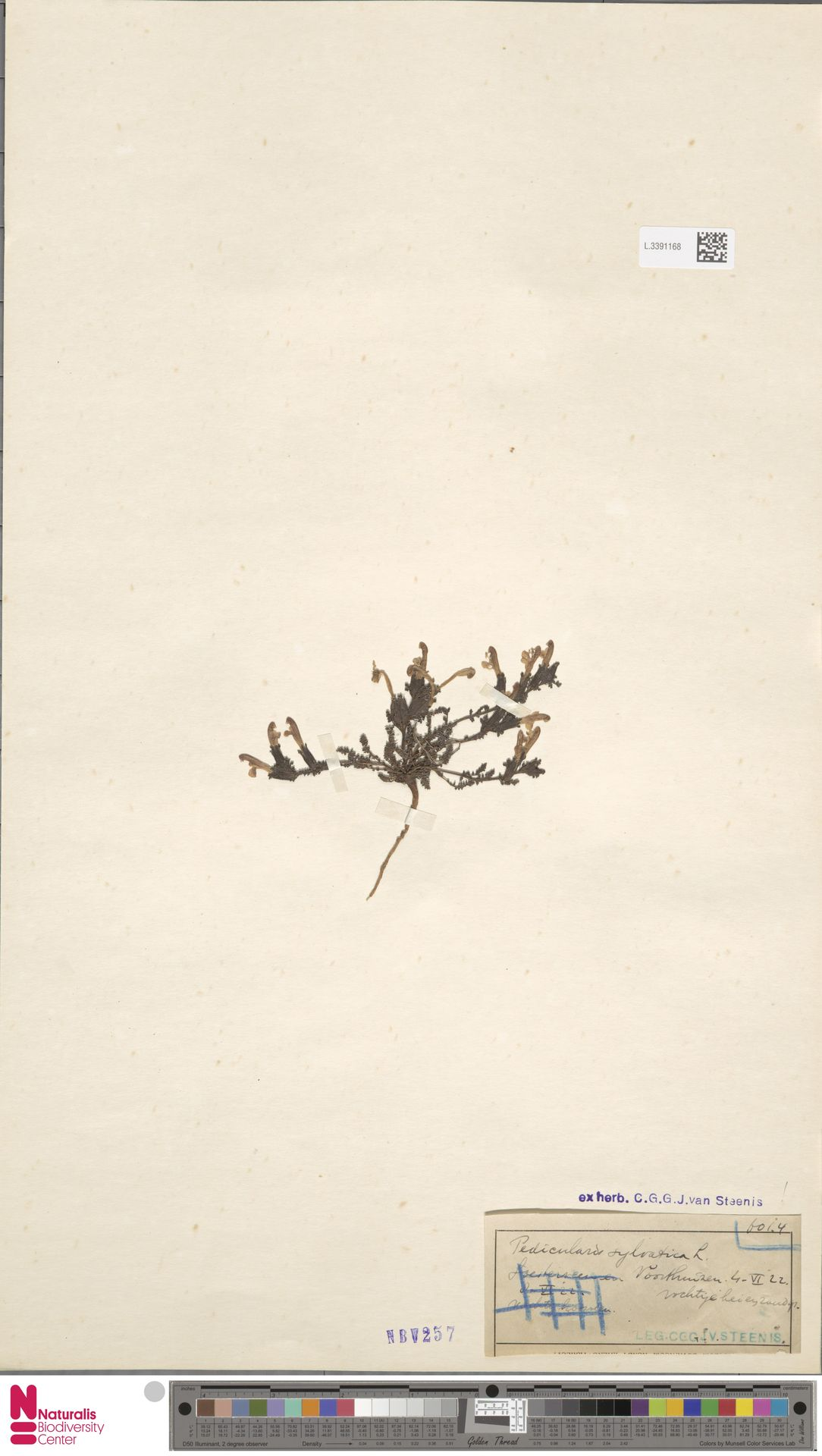 L.3391168 | Pedicularis sylvatica L.