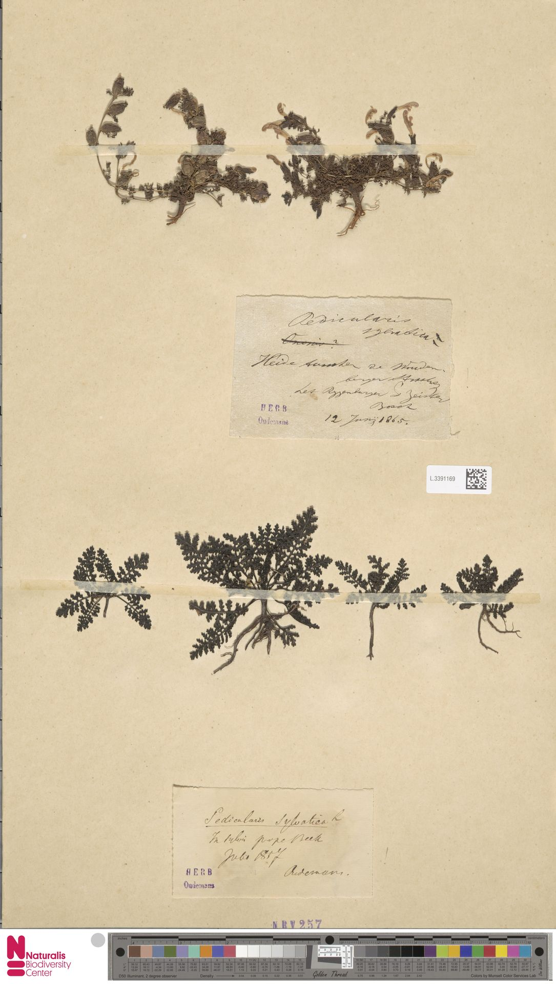L.3391169 | Pedicularis sylvatica L.