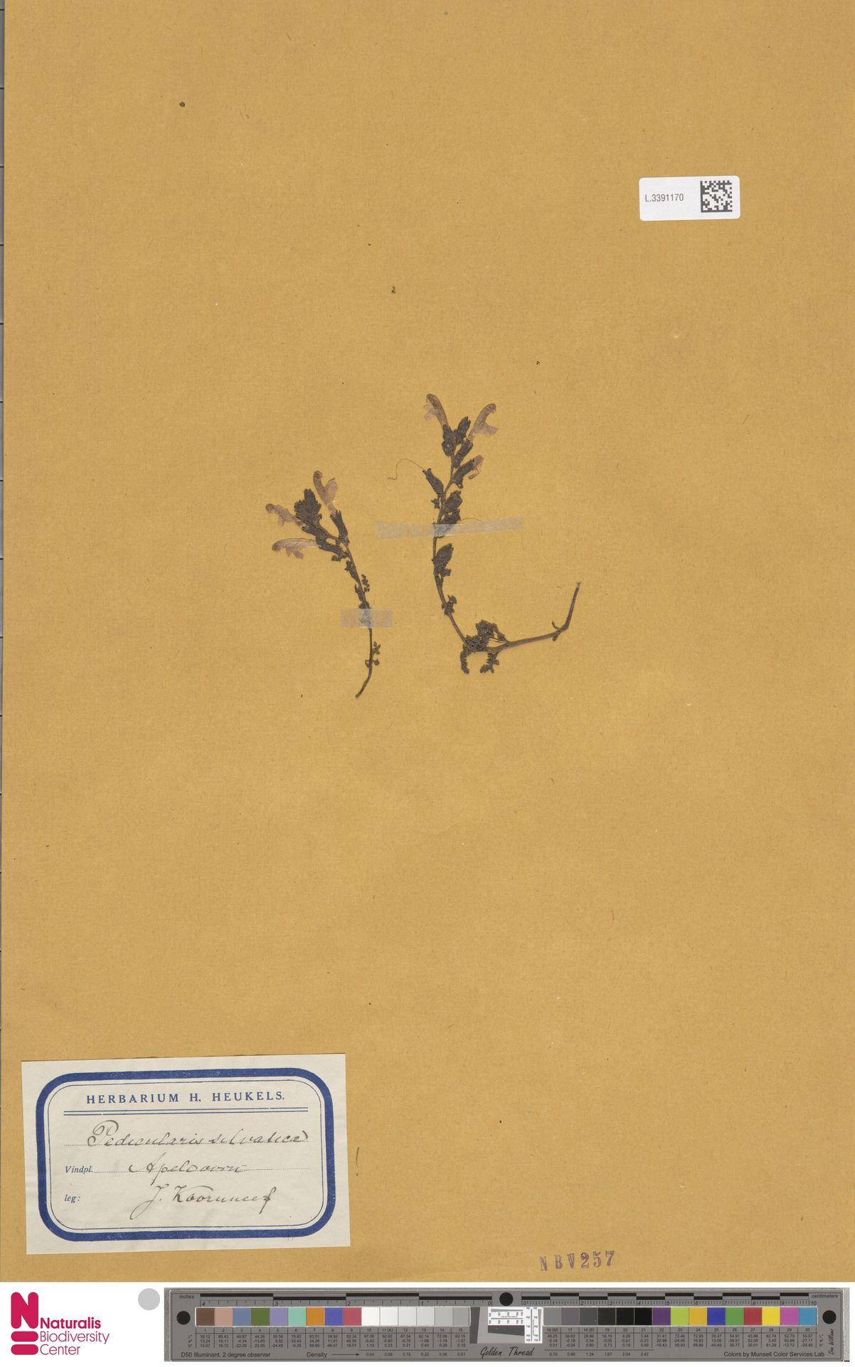 L.3391170 | Pedicularis sylvatica L.