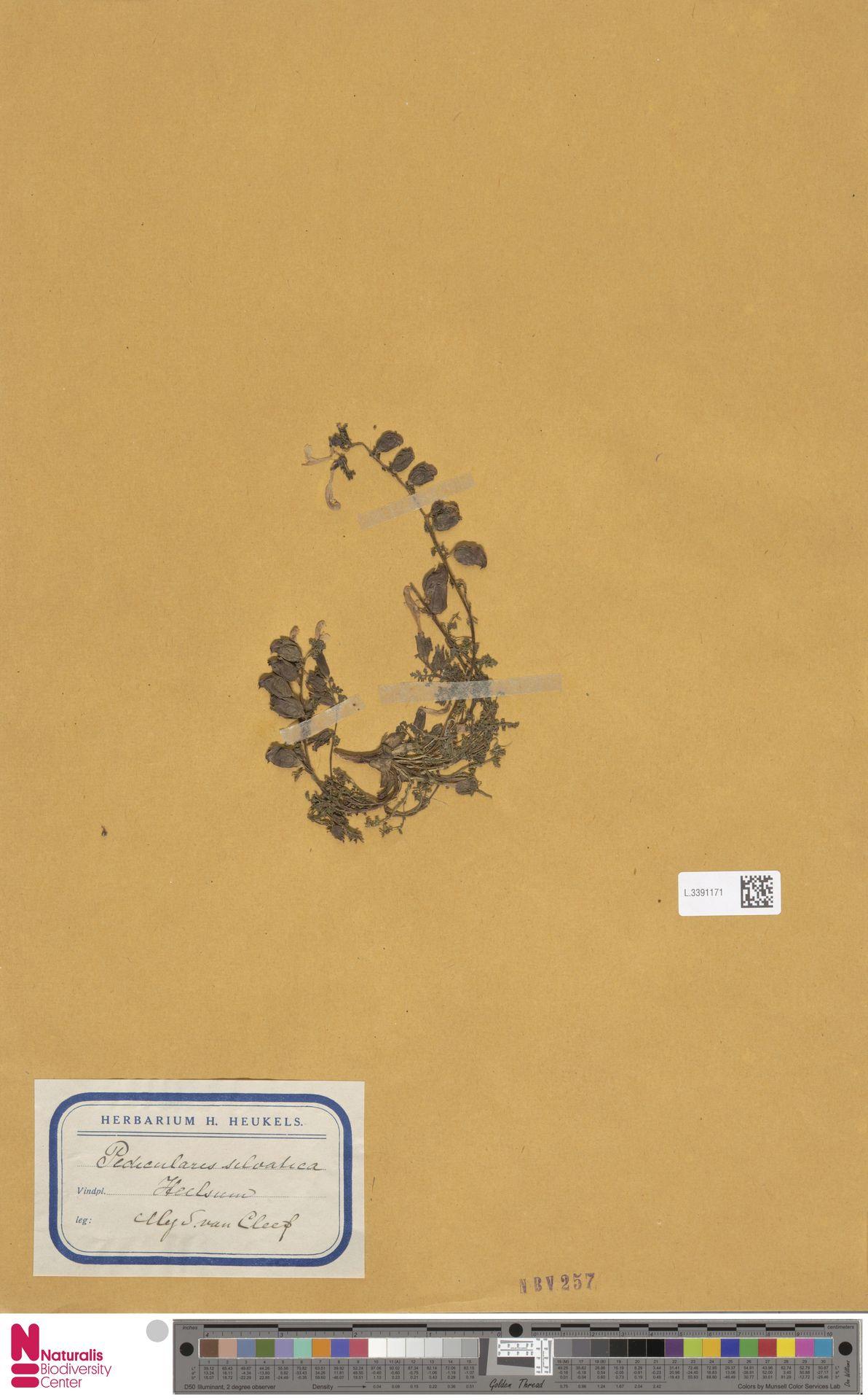 L.3391171 | Pedicularis sylvatica L.