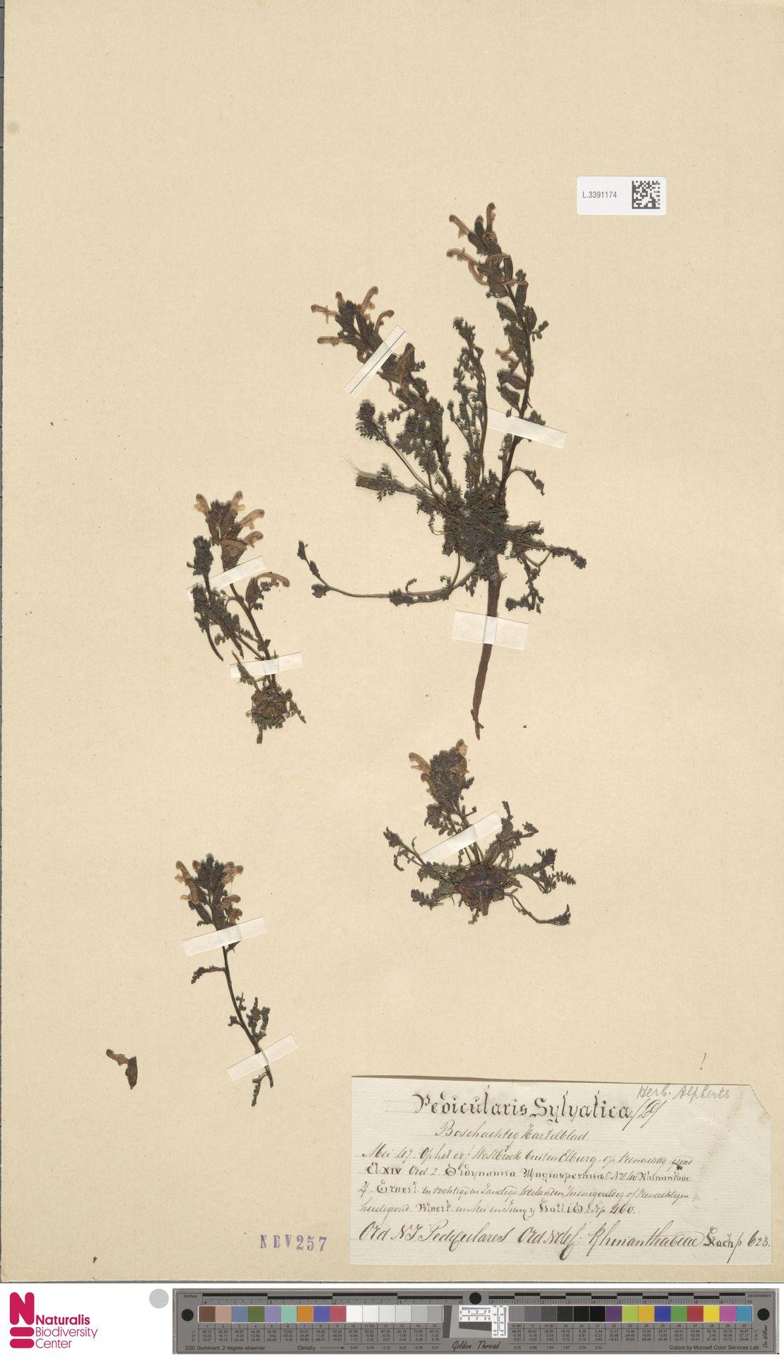 L.3391174 | Pedicularis sylvatica L.