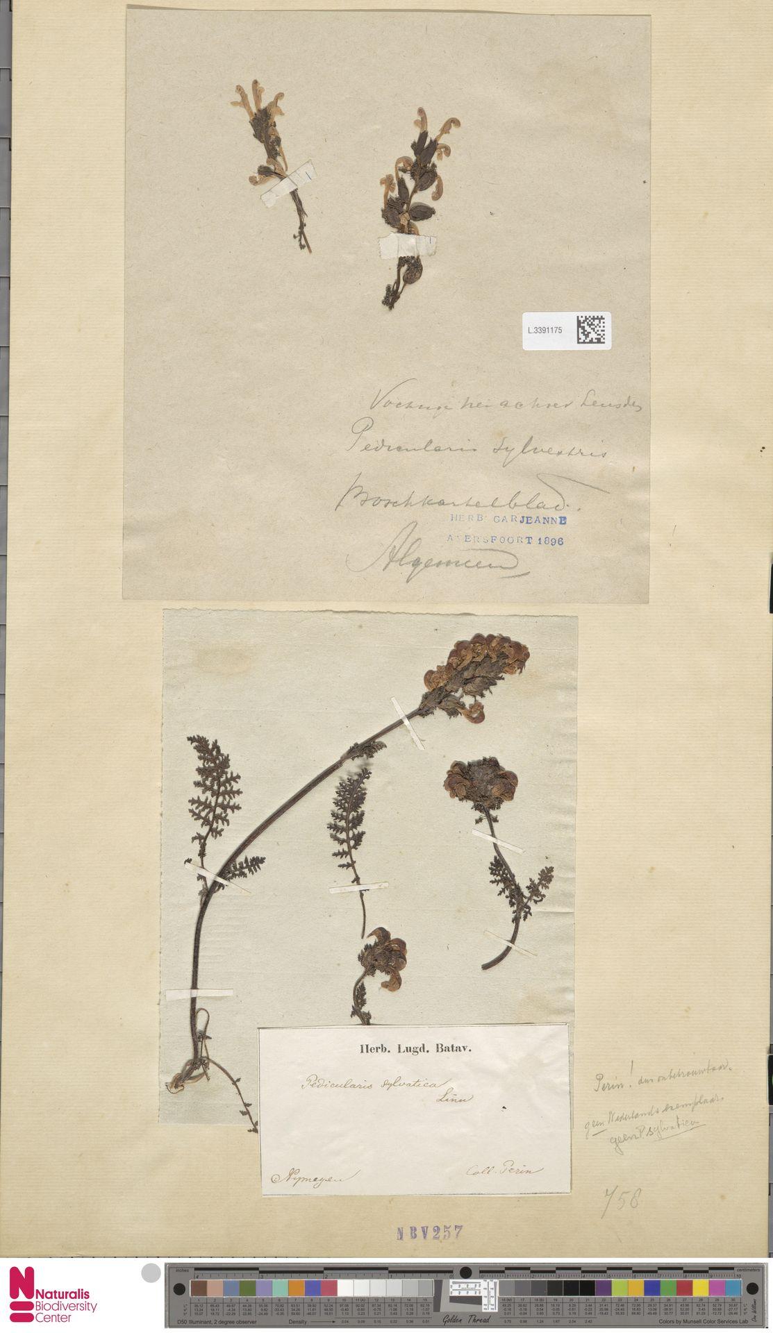 L.3391175 | Pedicularis sylvatica L.