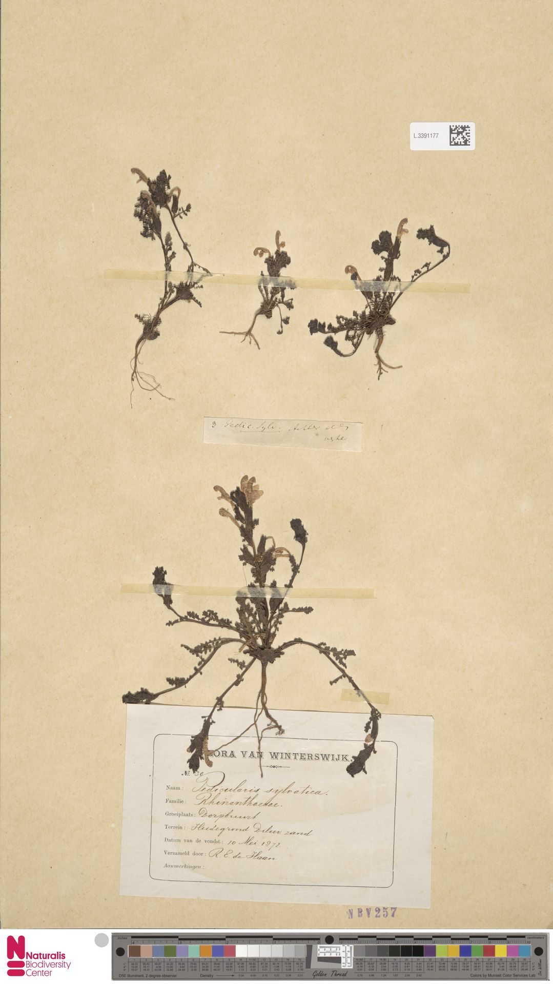 L.3391177 | Pedicularis sylvatica L.