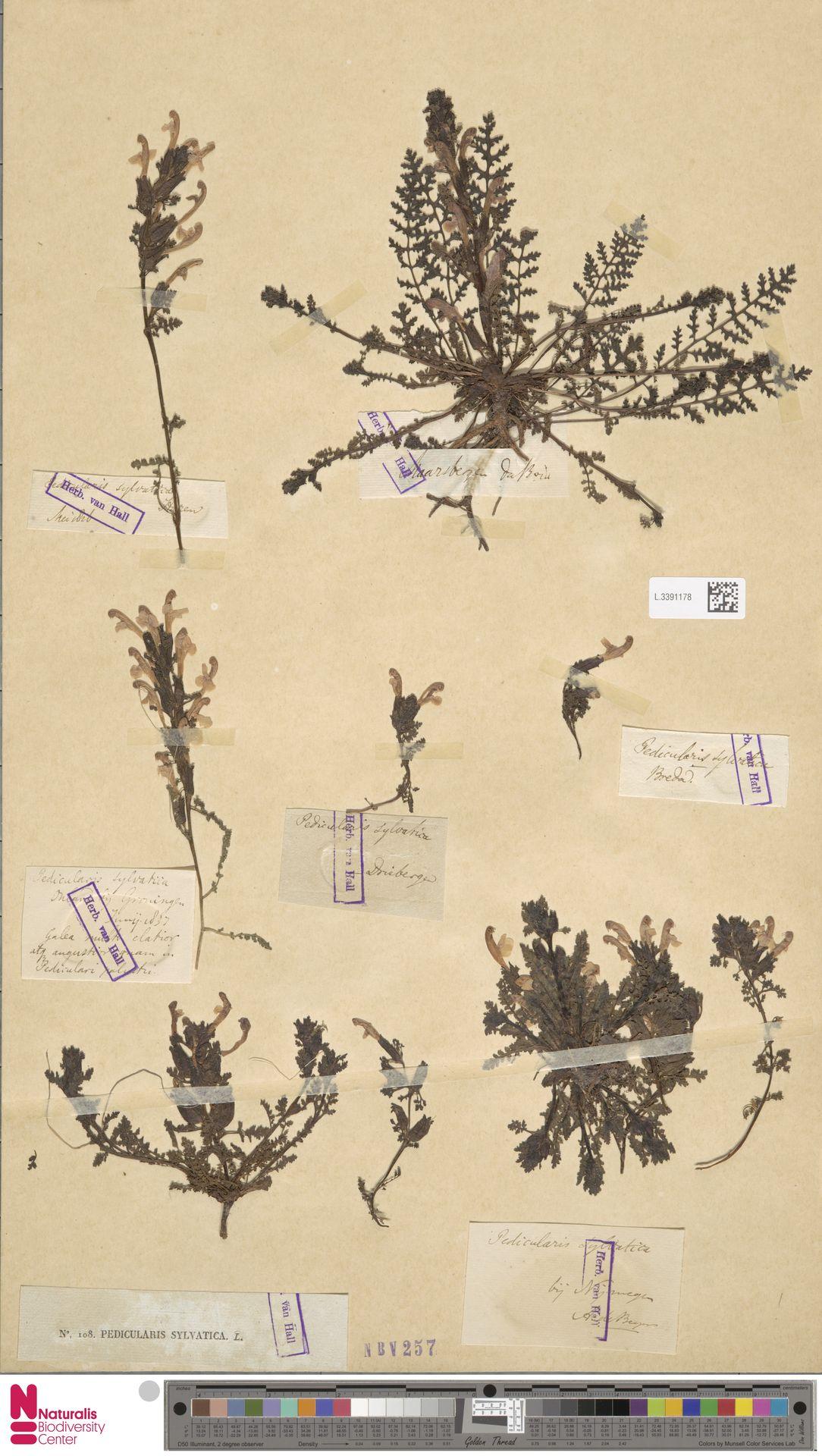 L.3391178 | Pedicularis sylvatica L.
