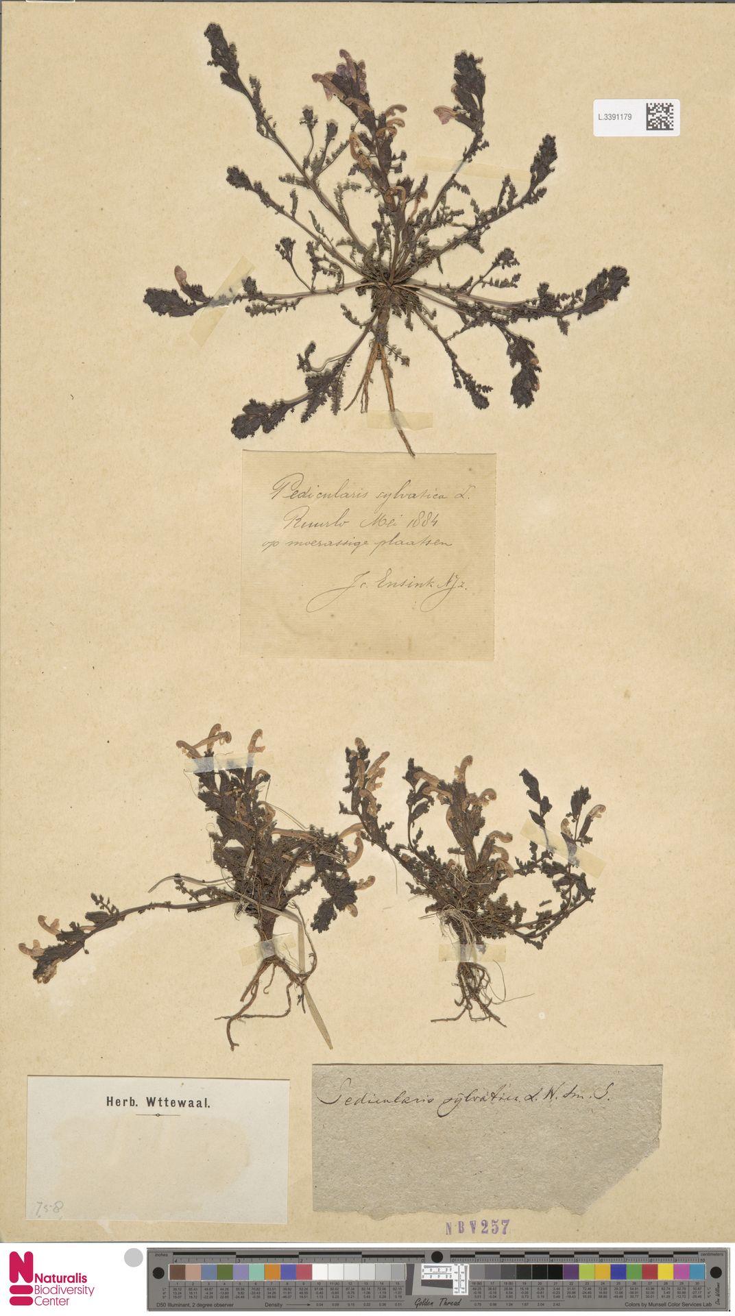 L.3391179 | Pedicularis sylvatica L.