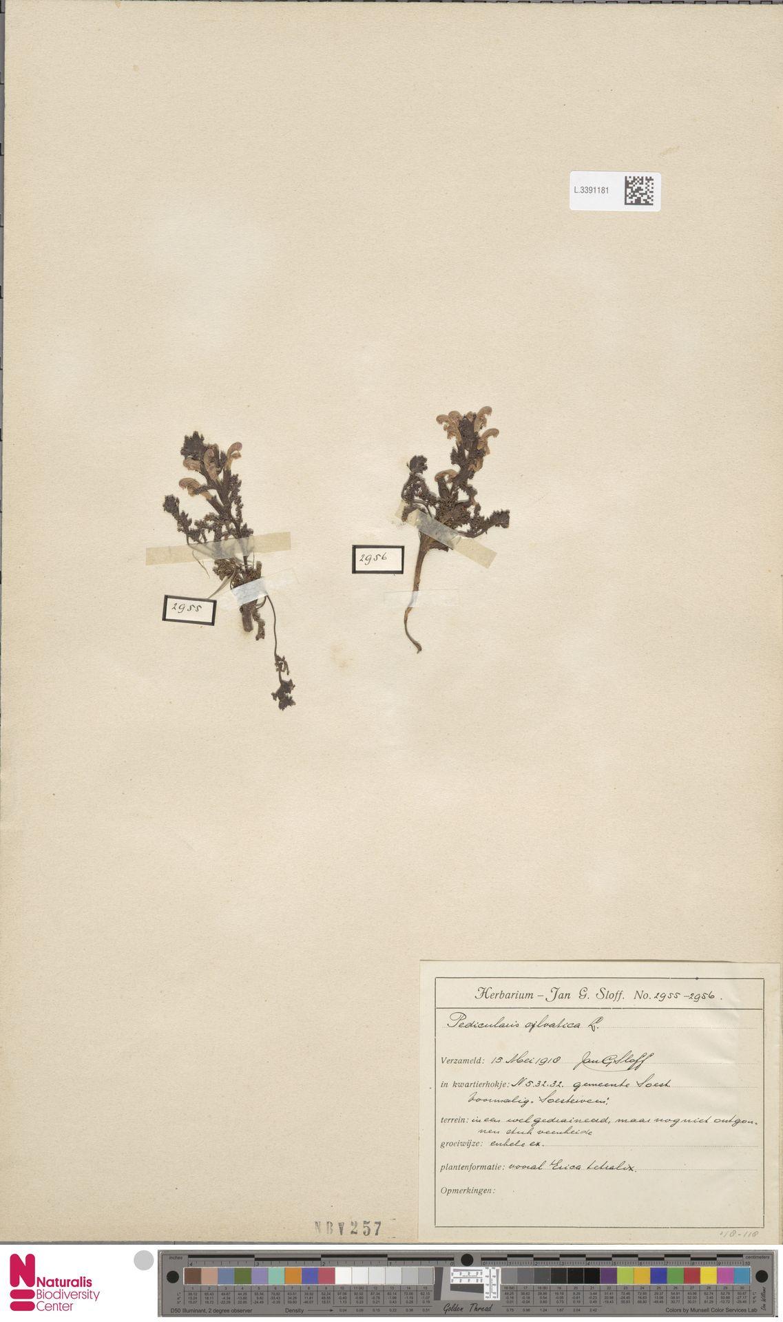 L.3391181   Pedicularis sylvatica L.