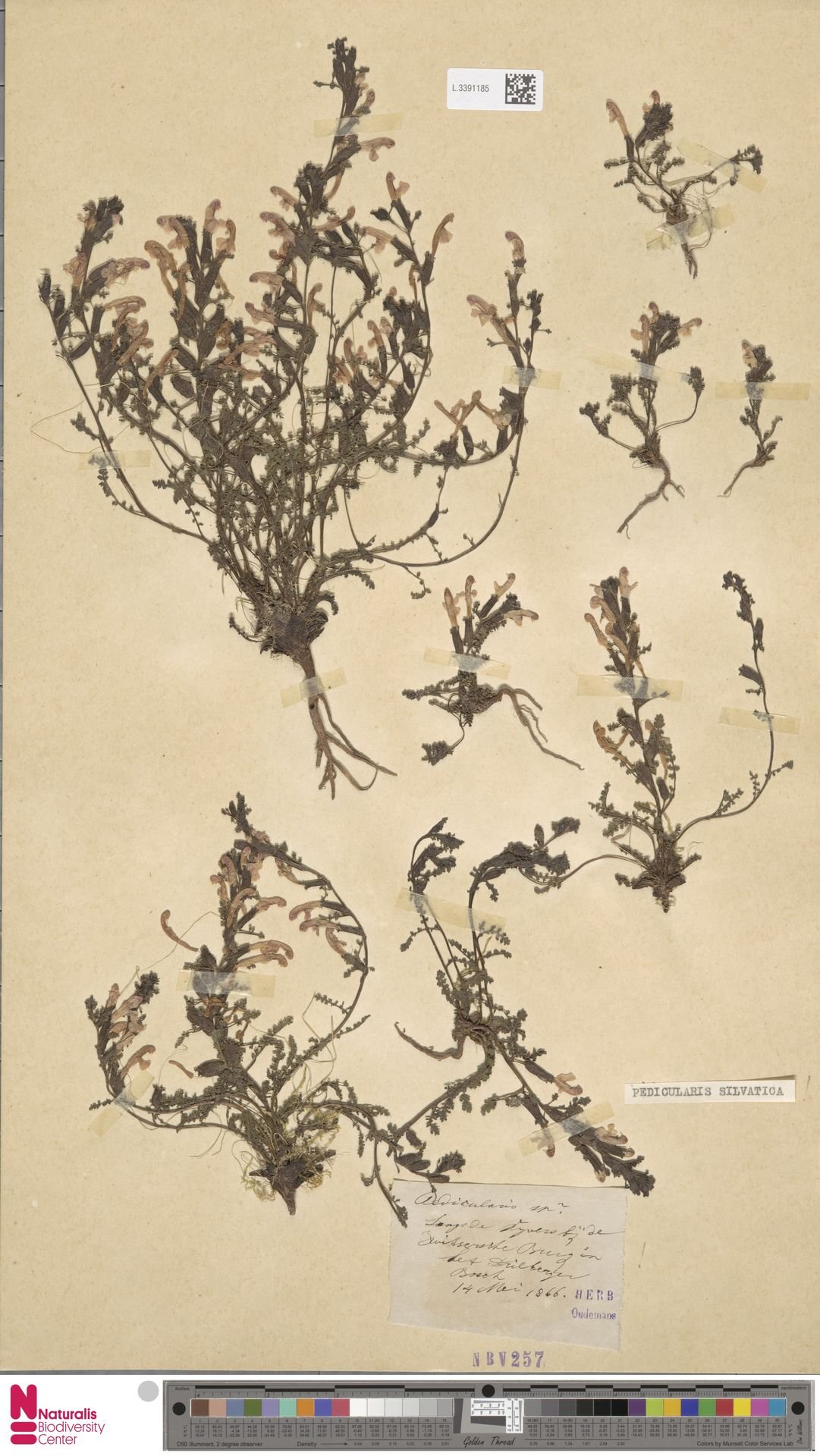 L.3391185 | Pedicularis sylvatica L.