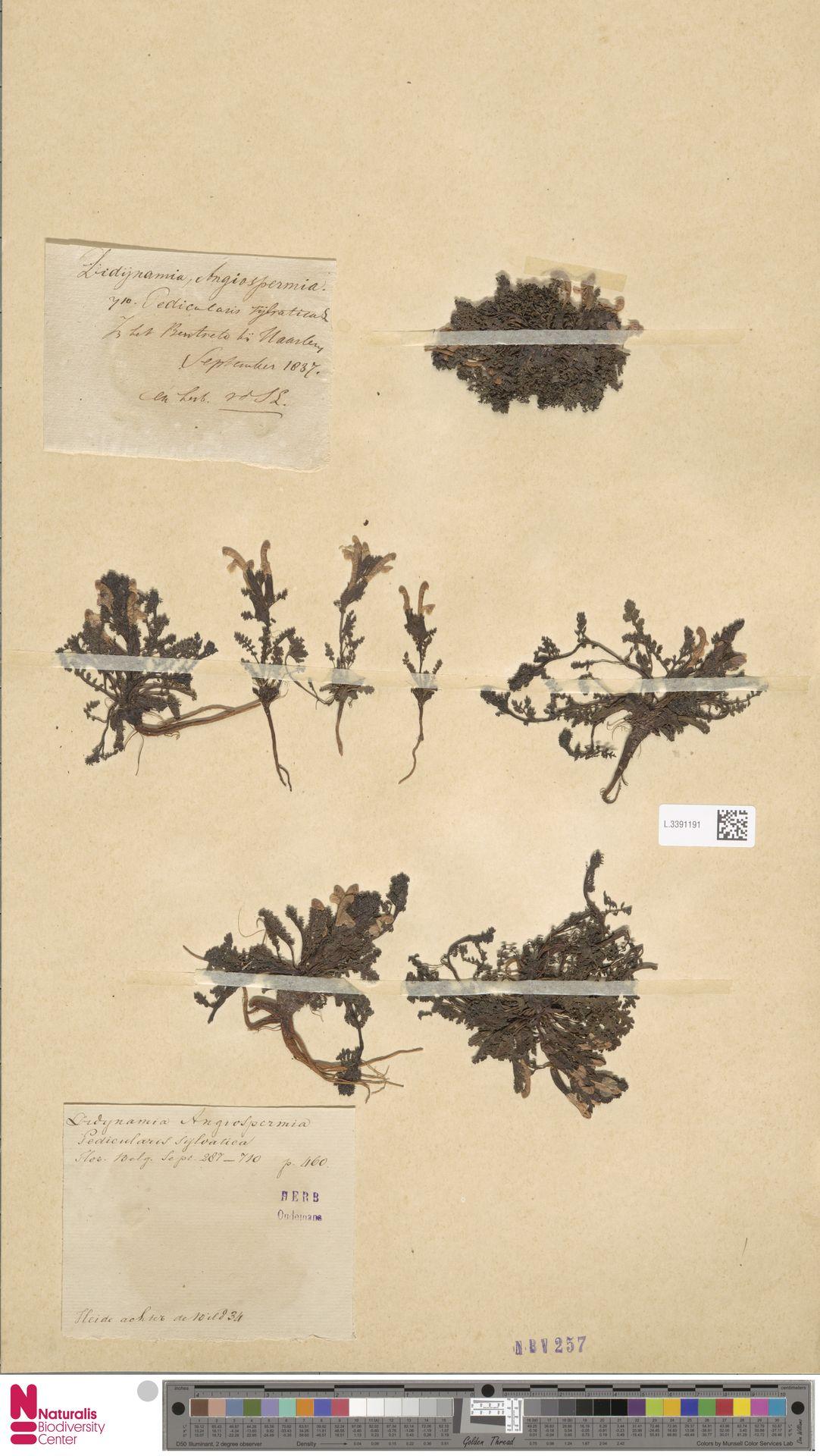 L.3391191 | Pedicularis sylvatica L.