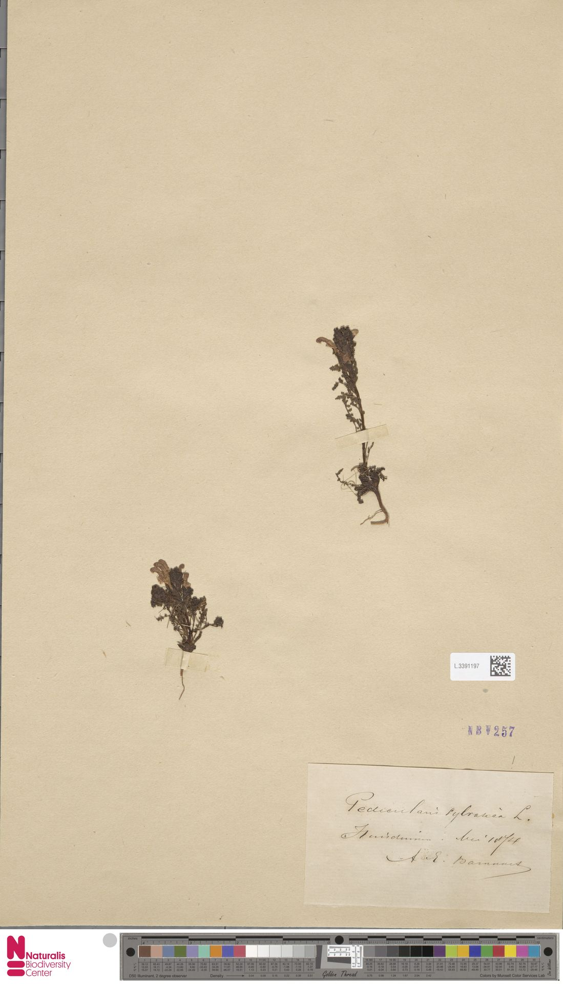 L.3391197 | Pedicularis sylvatica L.