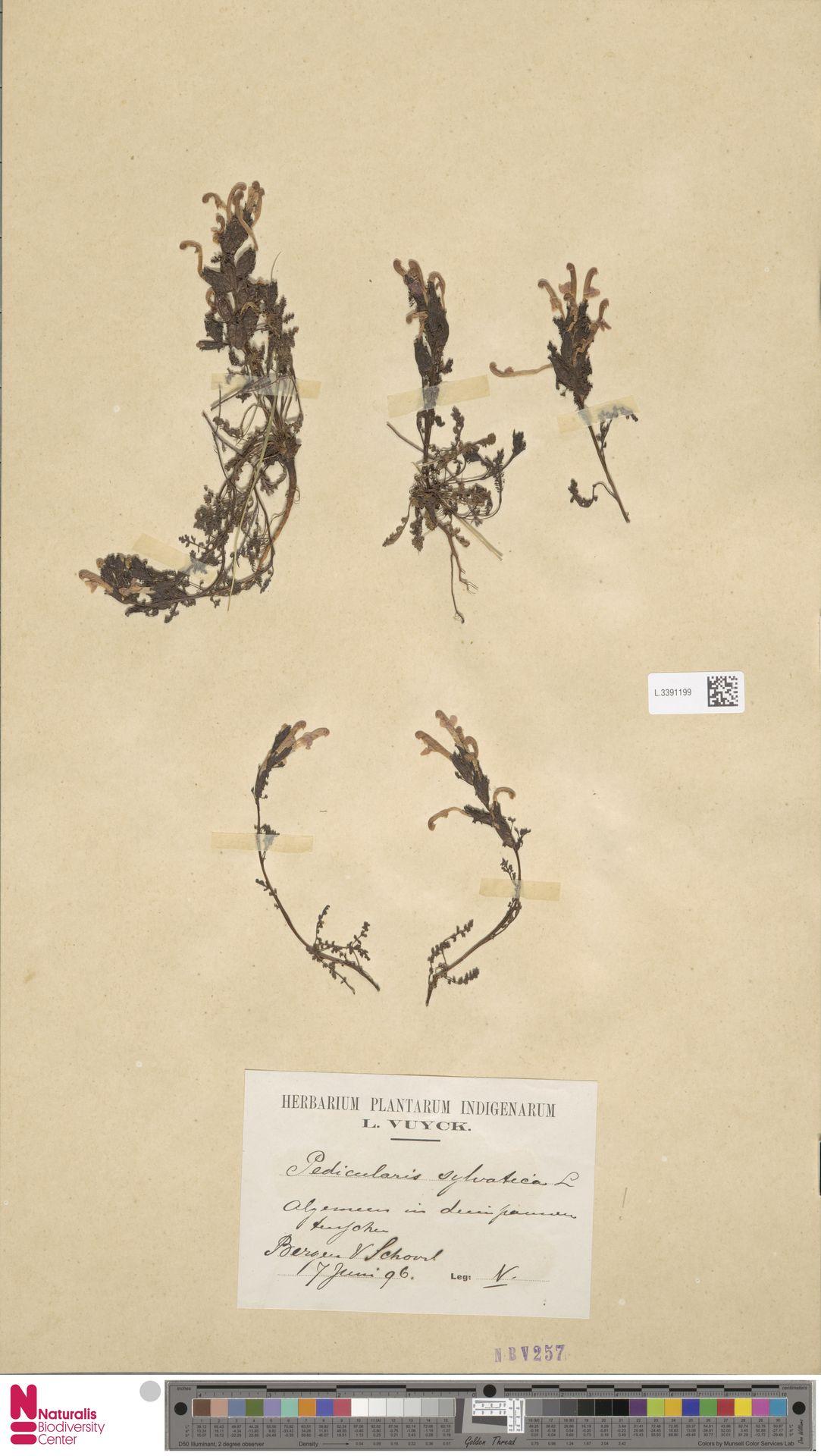 L.3391199 | Pedicularis sylvatica L.