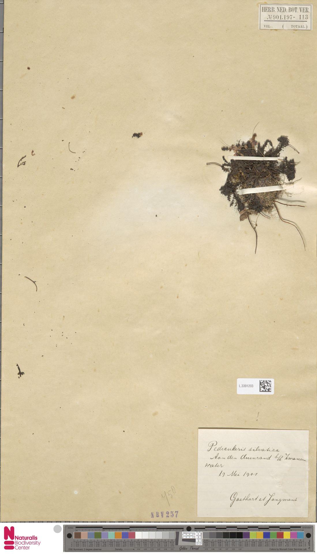 L.3391203 | Pedicularis sylvatica L.