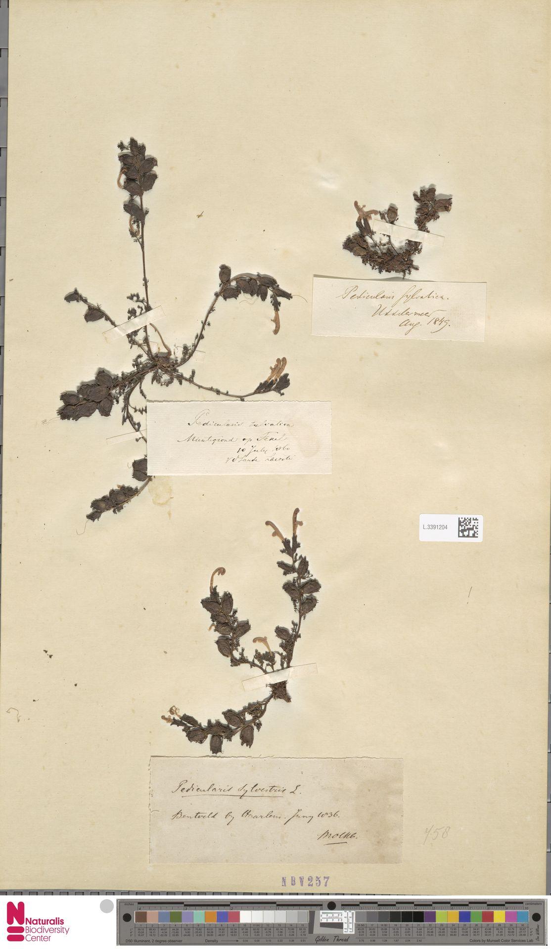 L.3391204 | Pedicularis sylvatica L.