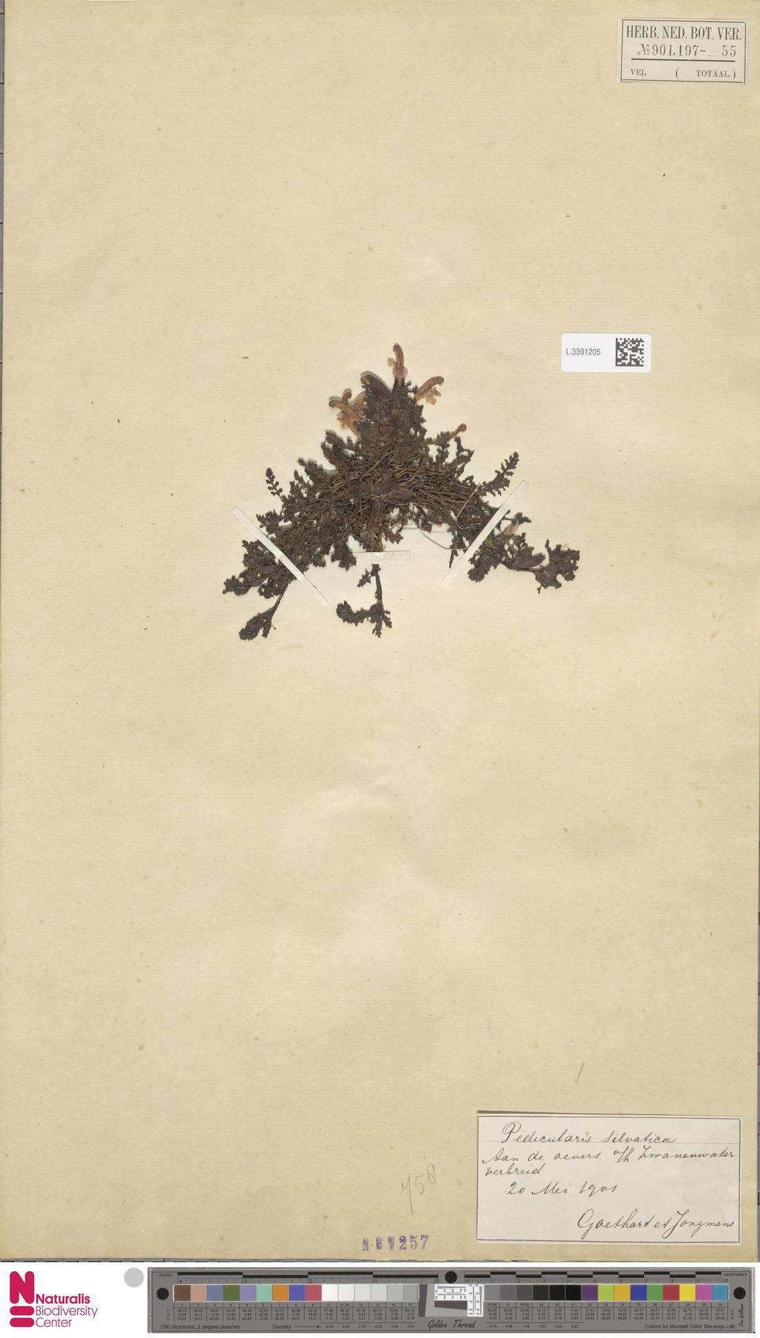 L.3391205 | Pedicularis sylvatica L.