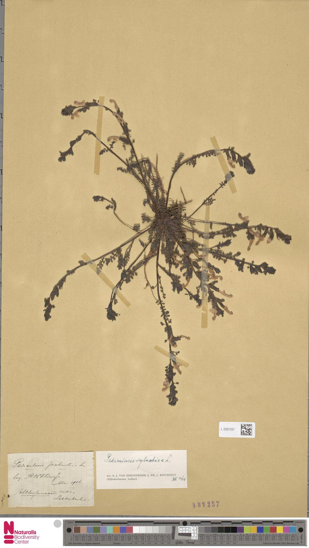 L.3391207   Pedicularis sylvatica L.