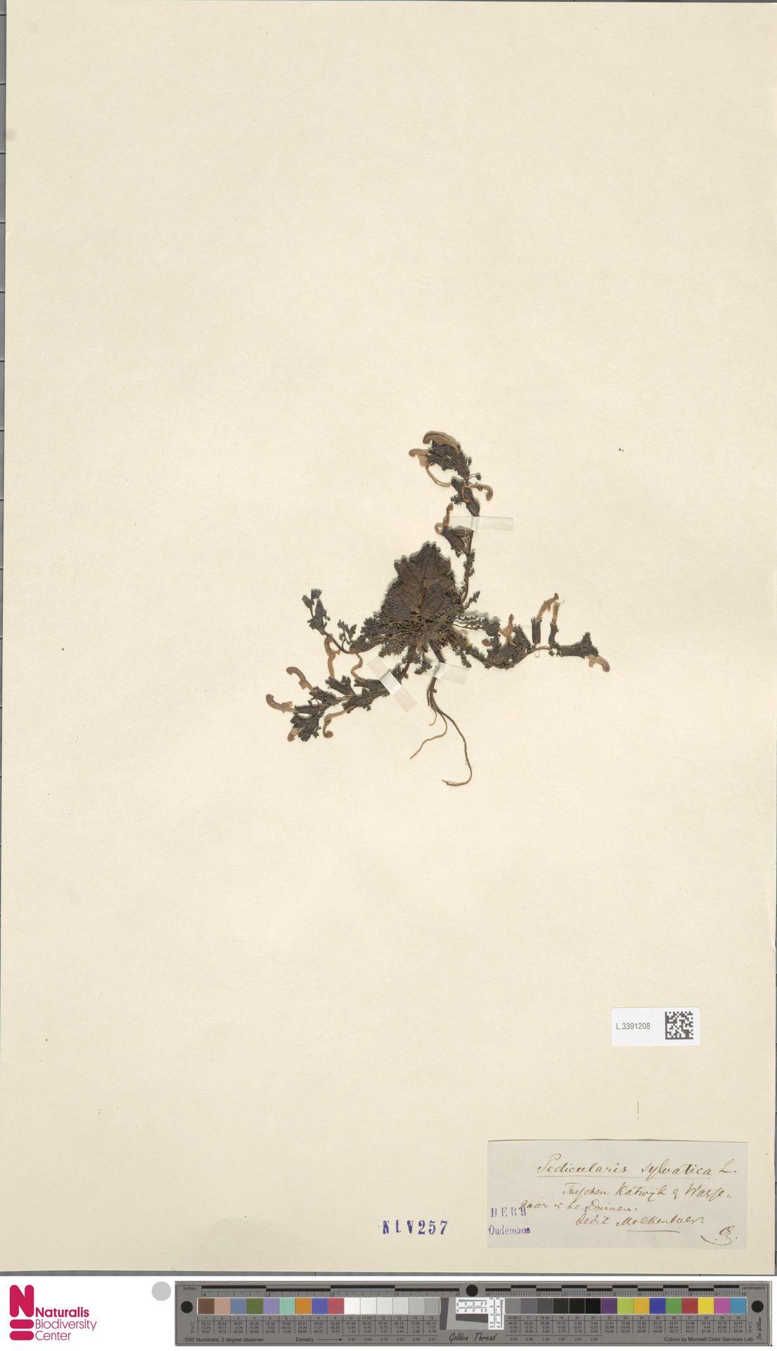 L.3391208 | Pedicularis sylvatica L.