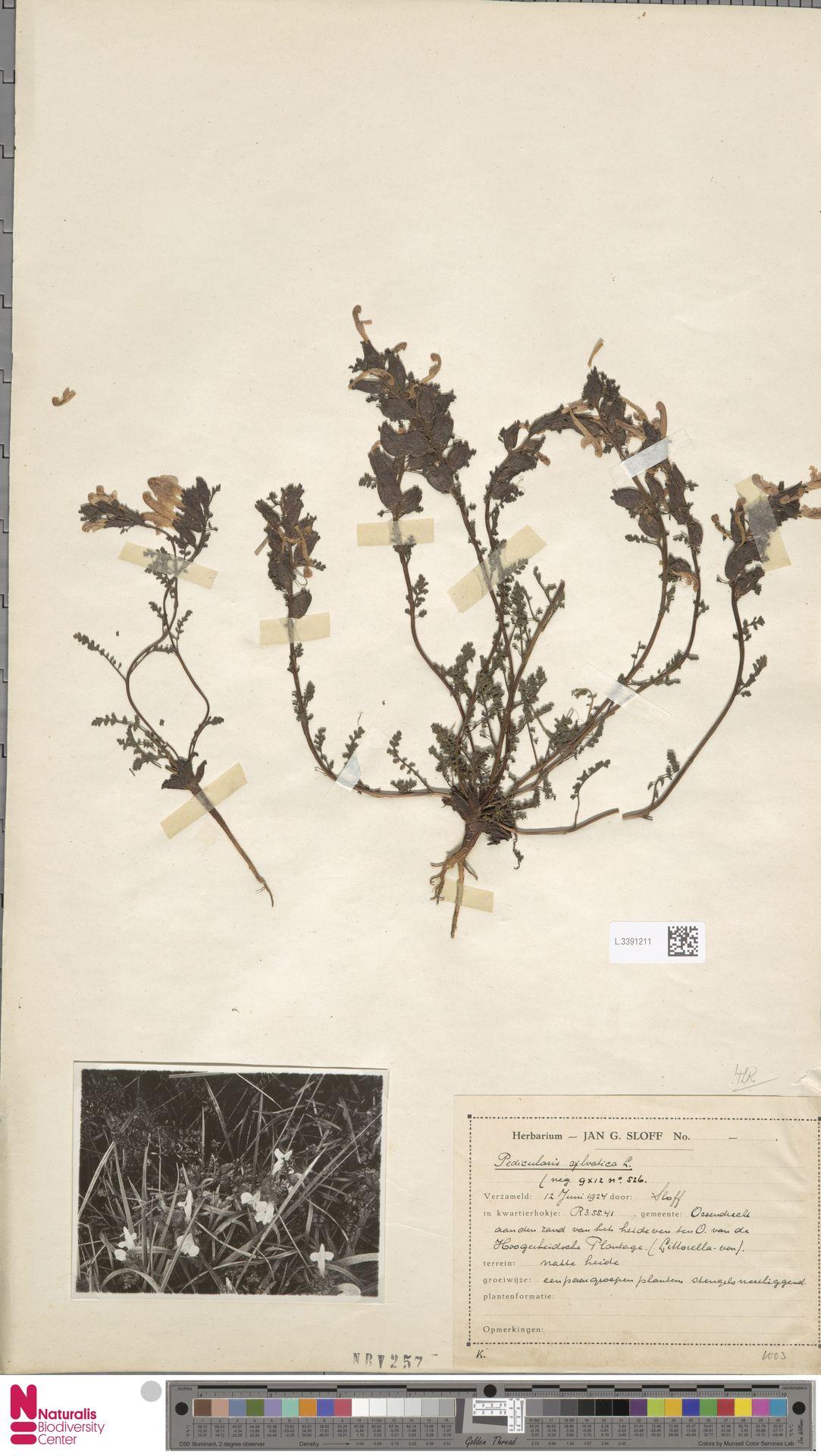 L.3391211 | Pedicularis sylvatica L.
