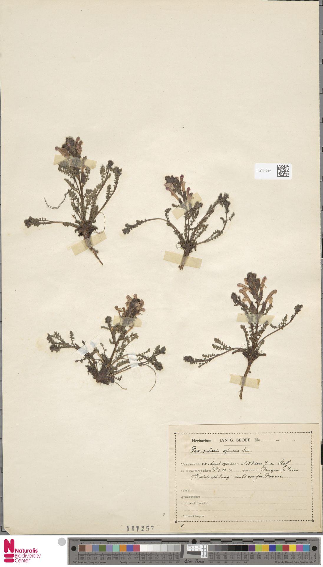 L.3391212 | Pedicularis sylvatica L.