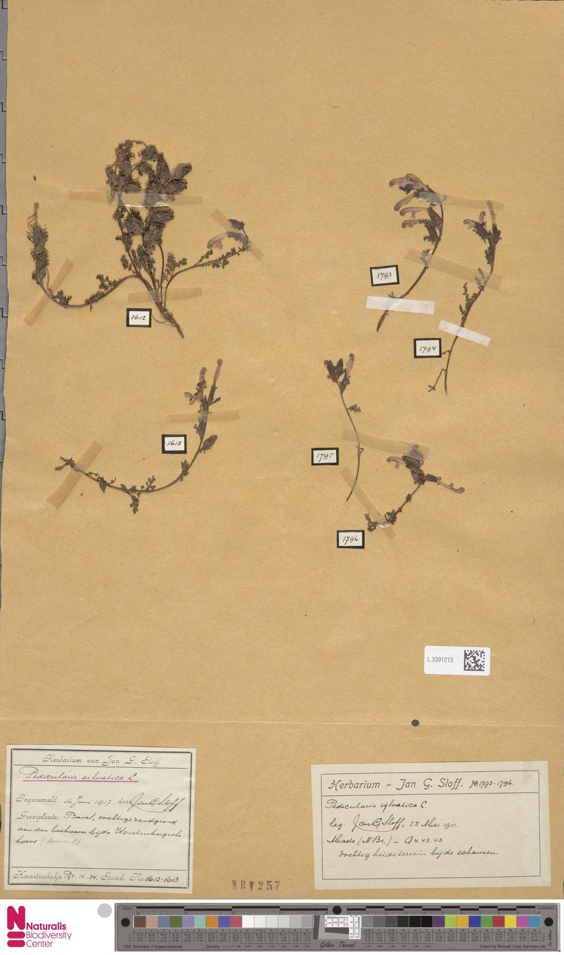 L.3391213 | Pedicularis sylvatica L.