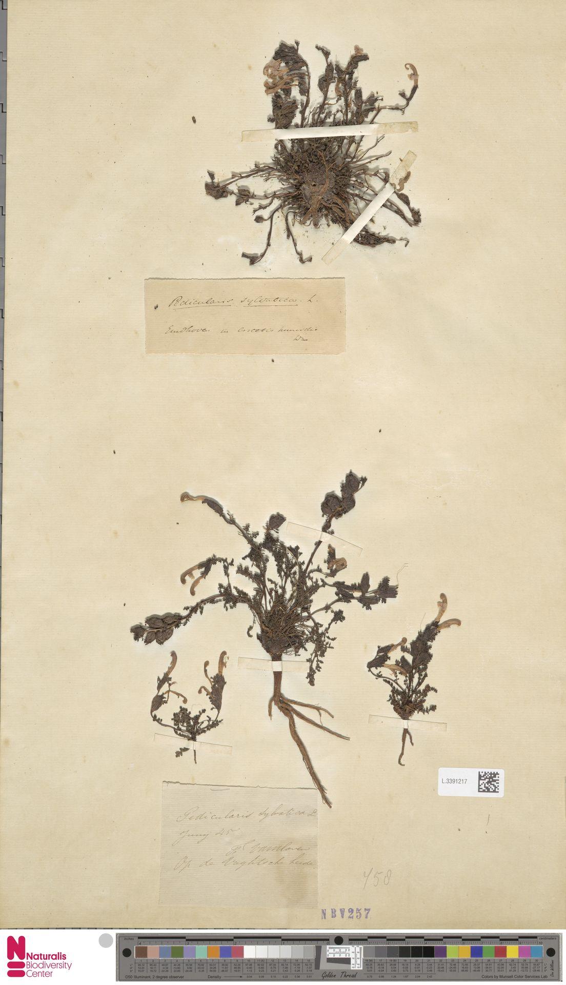 L.3391217   Pedicularis sylvatica L.