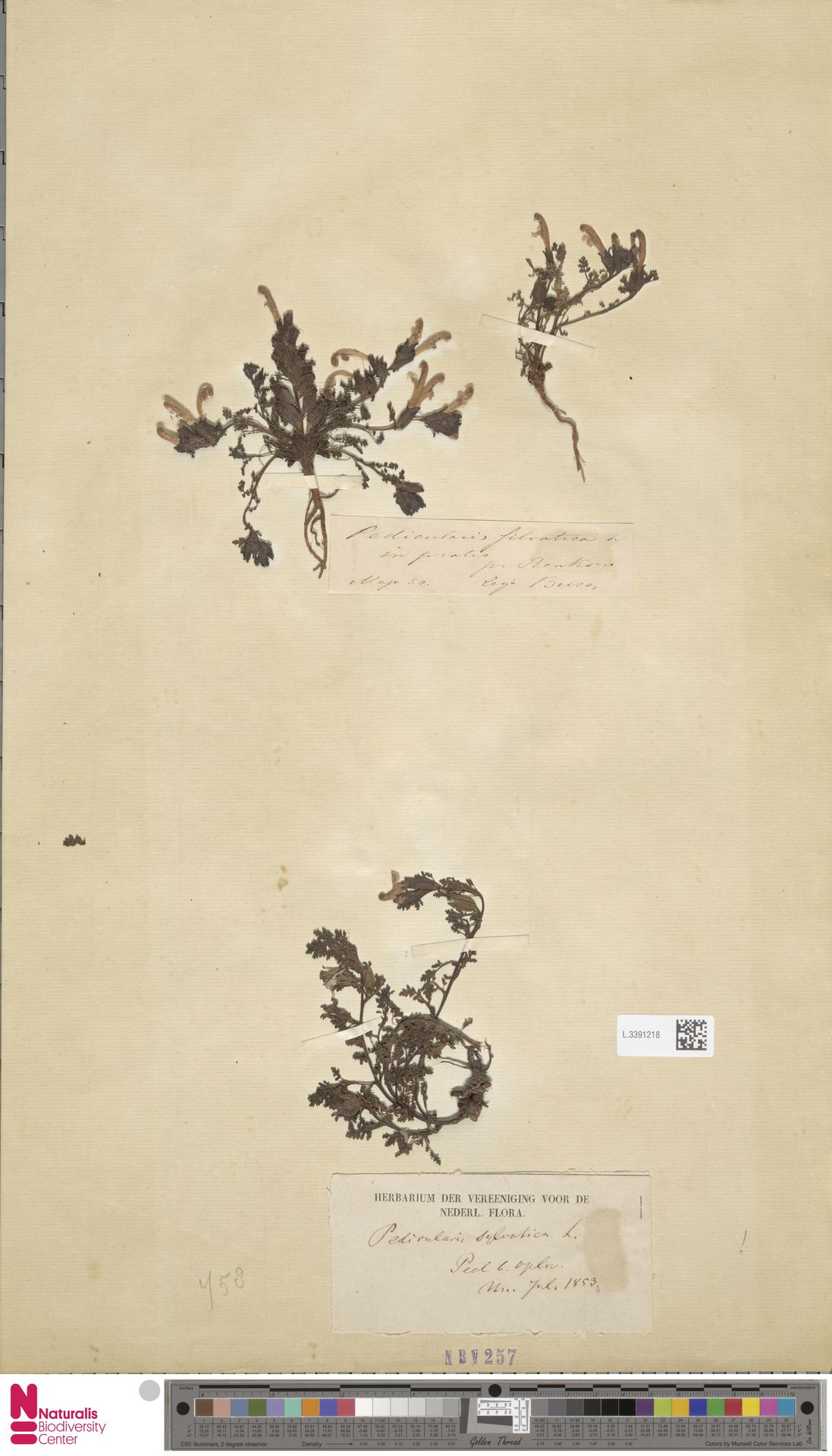 L.3391218 | Pedicularis sylvatica L.