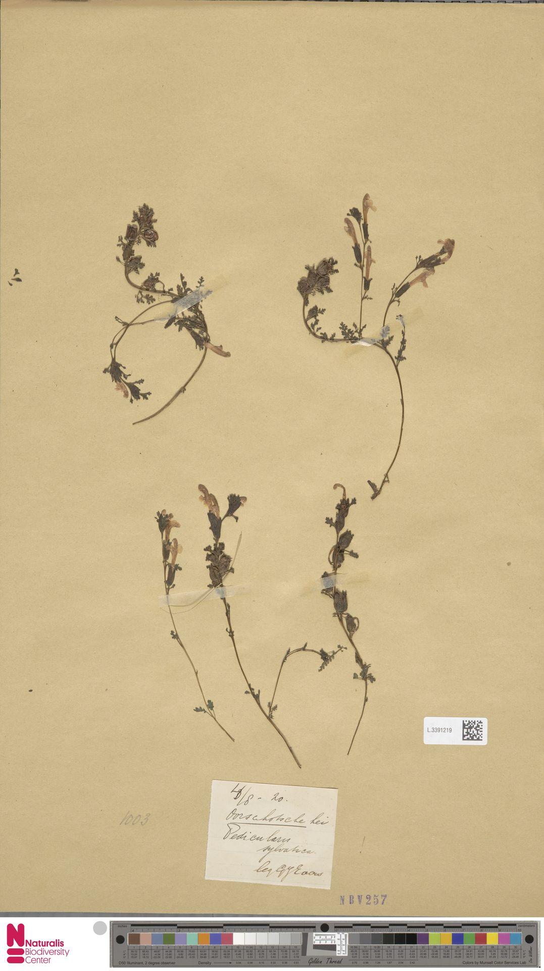 L.3391219 | Pedicularis sylvatica L.