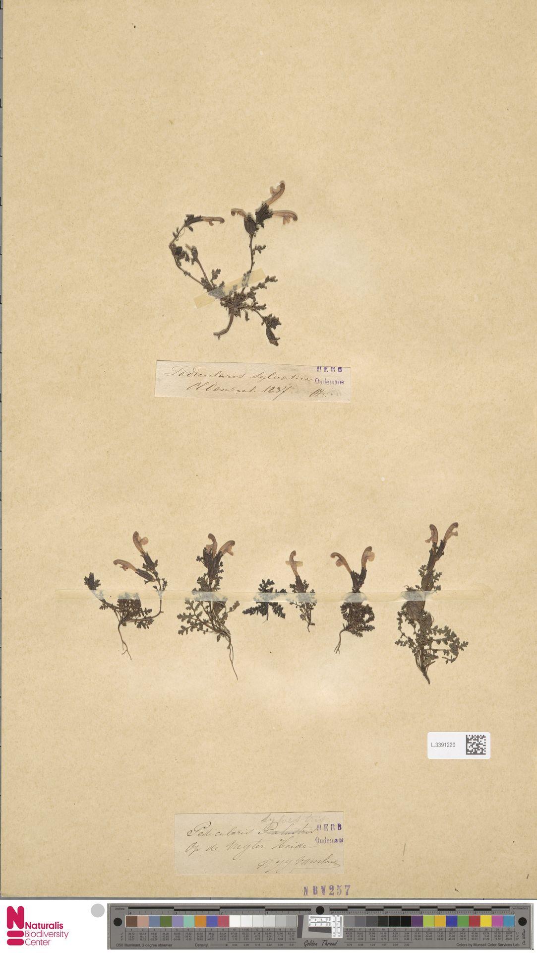 L.3391220 | Pedicularis sylvatica L.