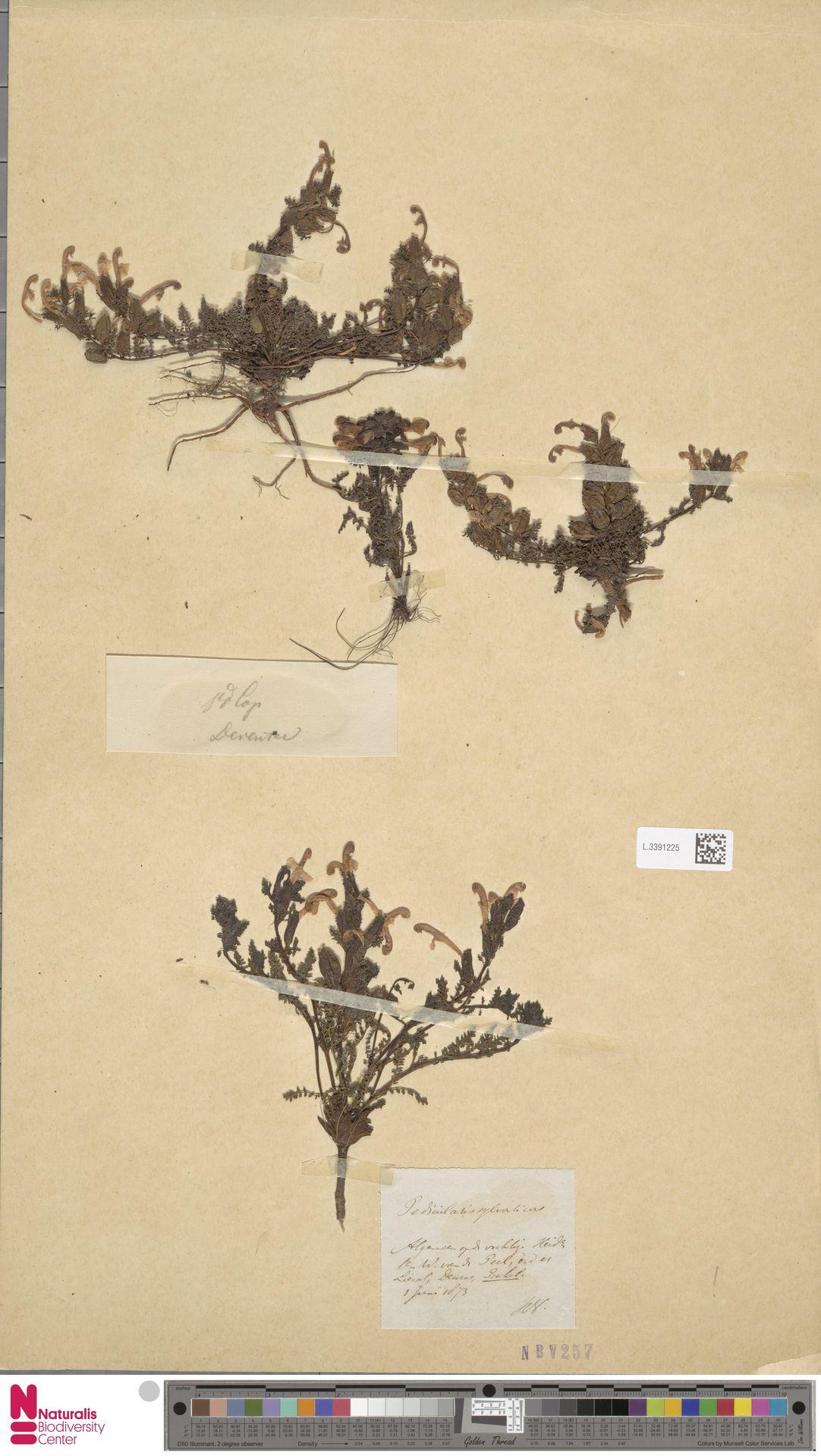 L.3391225 | Pedicularis sylvatica L.
