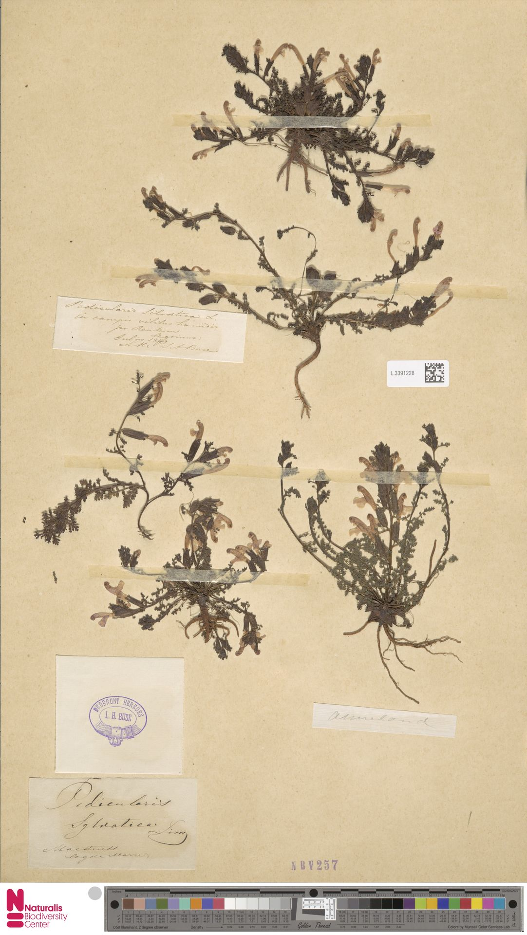 L.3391228 | Pedicularis sylvatica L.