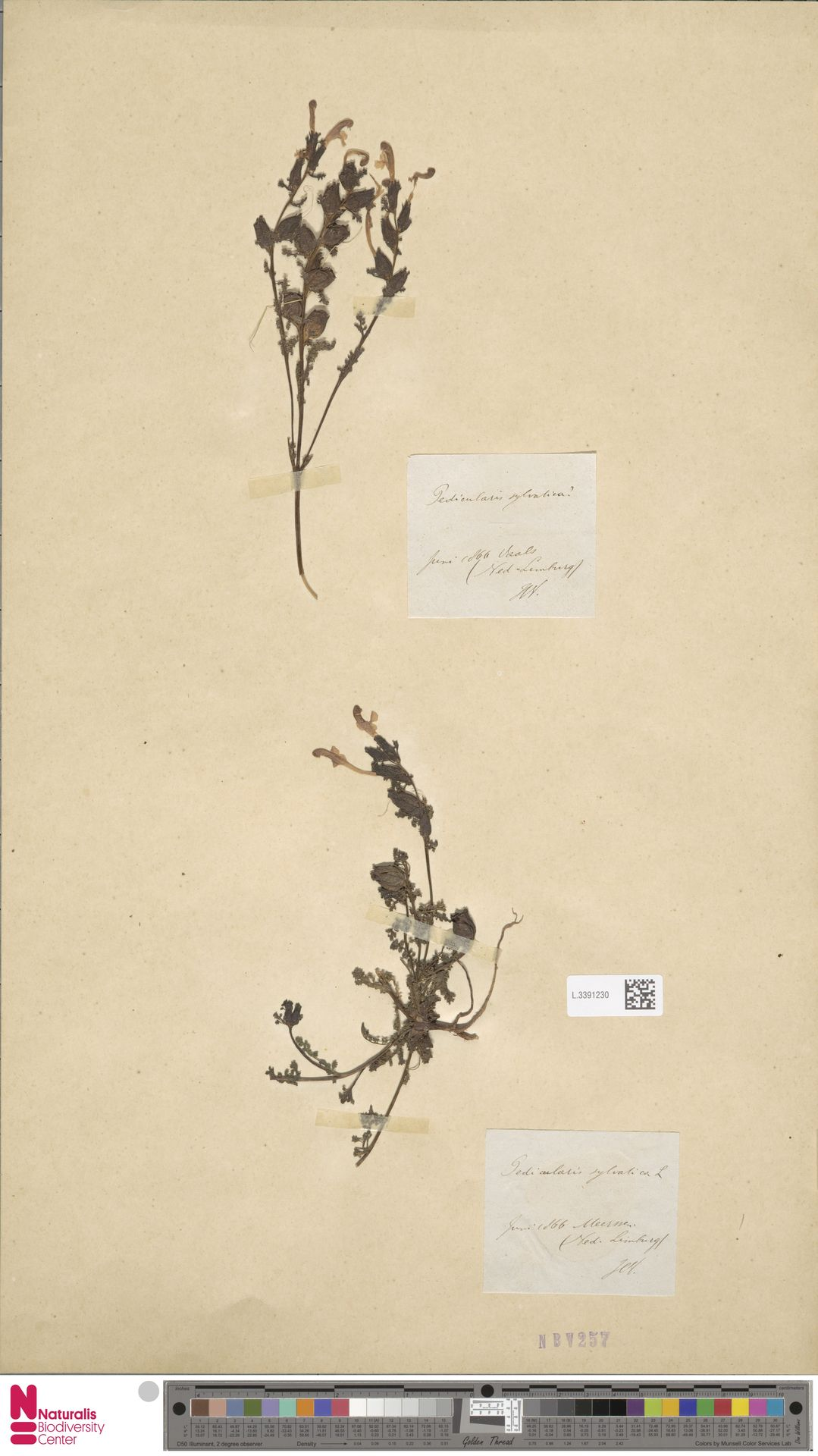 L.3391230 | Pedicularis sylvatica L.